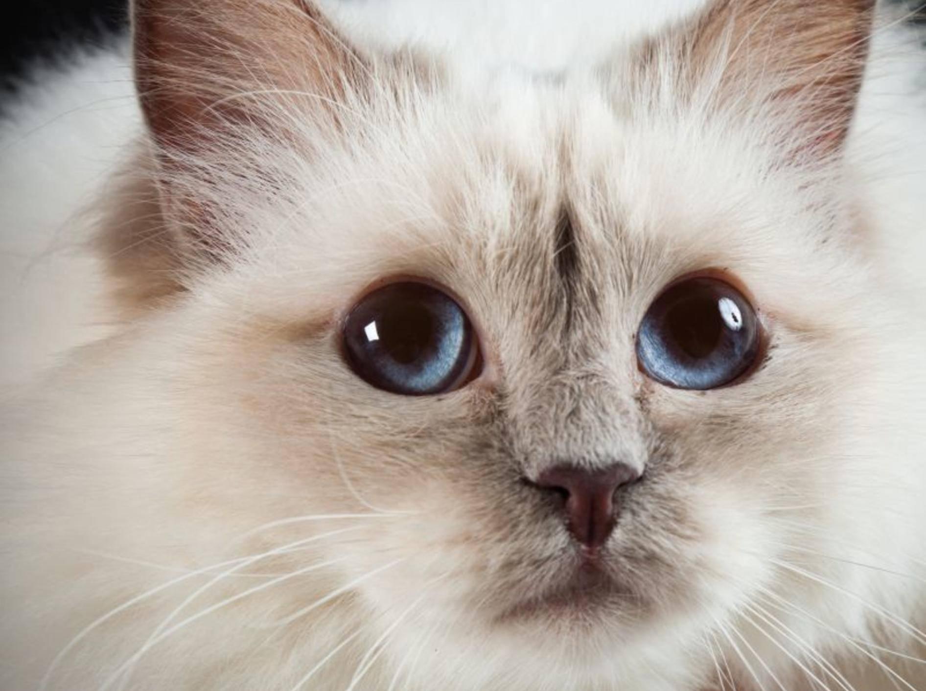 Die Birma-Katze ist eine Point-Katze, das heißt, sie hat Abzeichen an Gesicht, Ohren, Beinen und Schwanz — Bild: Shutterstock / Ysbrand Cosijn