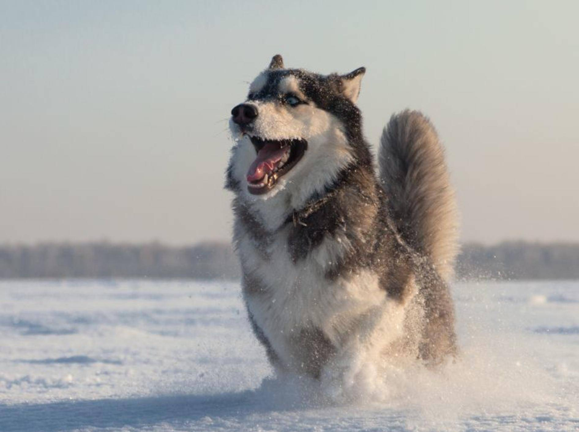 Was dieser Husky am liebsten mag? Na klar, toben im Schnee! – Bild: Shutterstock / aleksandr hunta
