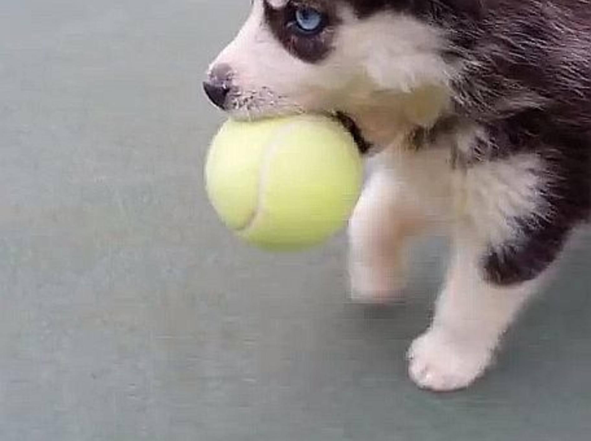 Husky-Welpe: Tennisball spielen macht Spaß! — Bild: Youtube / Michael Cooperman