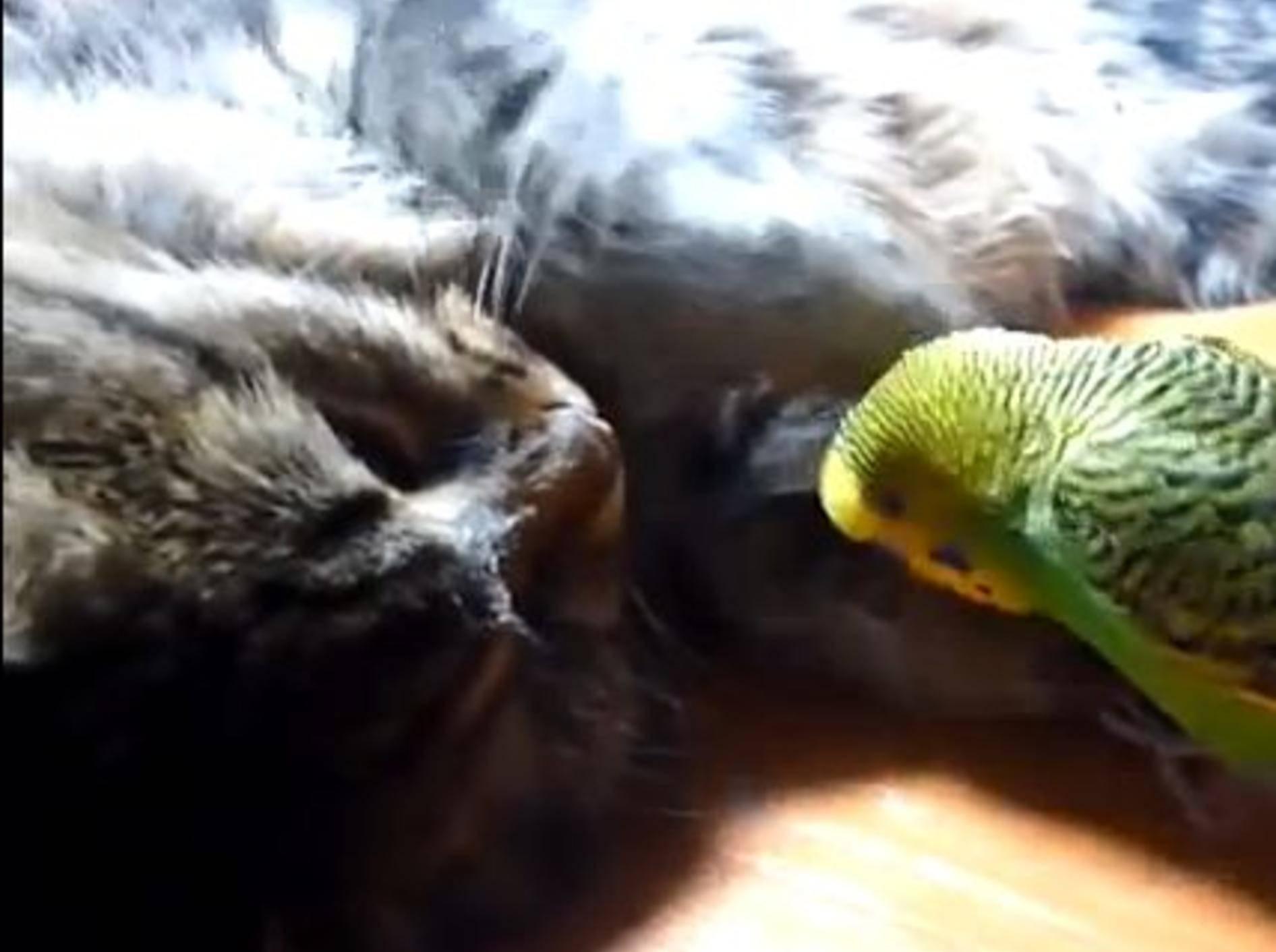 Wellensittich versucht, eine Katze zu wecken — Bild: Youtube / ignoramusky