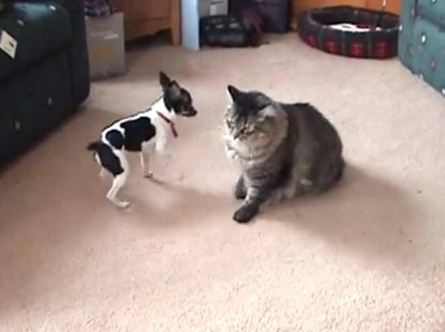 Große Katze, kleiner Hund: Maine Coon spielt mit Jack Russell — Bild: Youtube / LW13323
