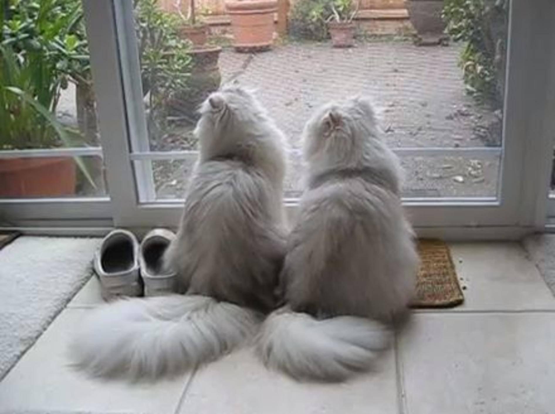 Wunderschöne Perser-Katzen sehen aus wie Zwillinge — Bild: Youtube / Mythicbells