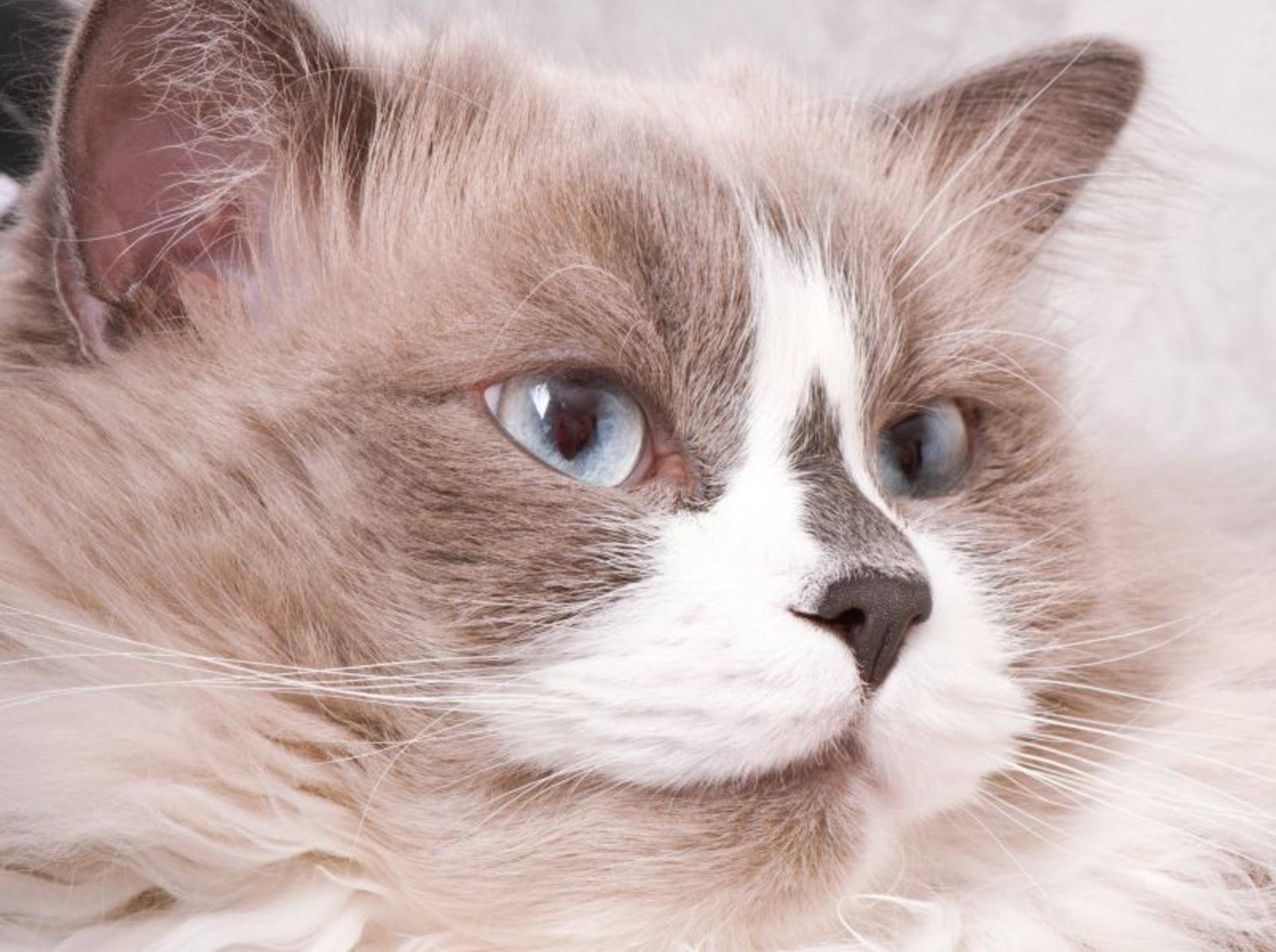 Die Ragdoll Katze: Eine sanftmütige Schönheit — Bild: Shutterstock / Timolina
