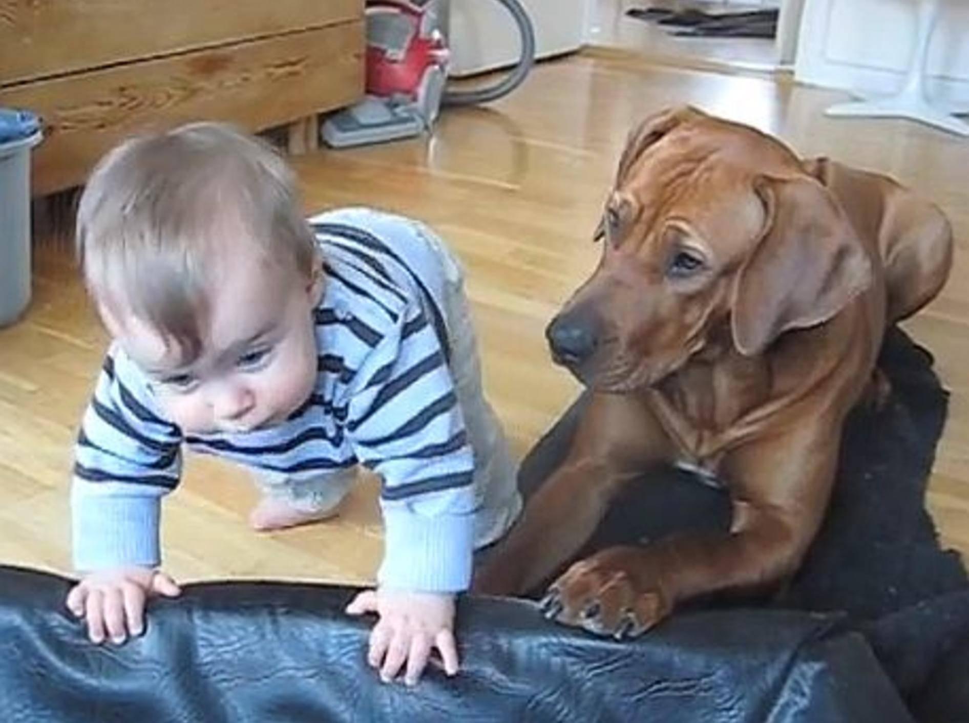 Süße Freunde: Rhodesian Ridgeback und Baby — Bild: Youtube / Ridgeback Lea