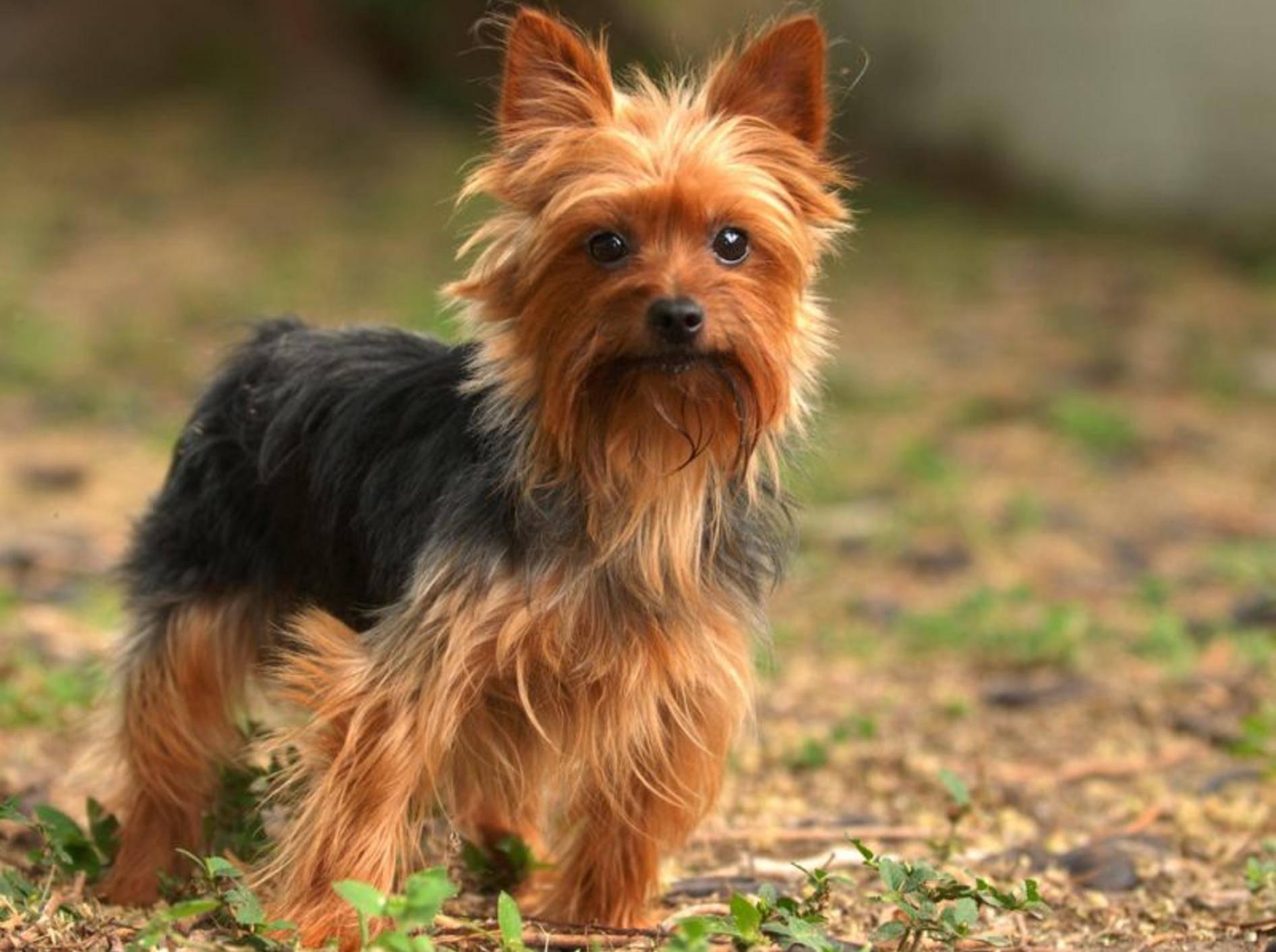 Der Yorkshire Terrier gehört zu den kleinsten Hunderassen. Er wird oft gerade einmal 20 Zentimeter hoch und wiegt etwa 3 Kilo – Bild: Shutterstock / Michael D. Skelton