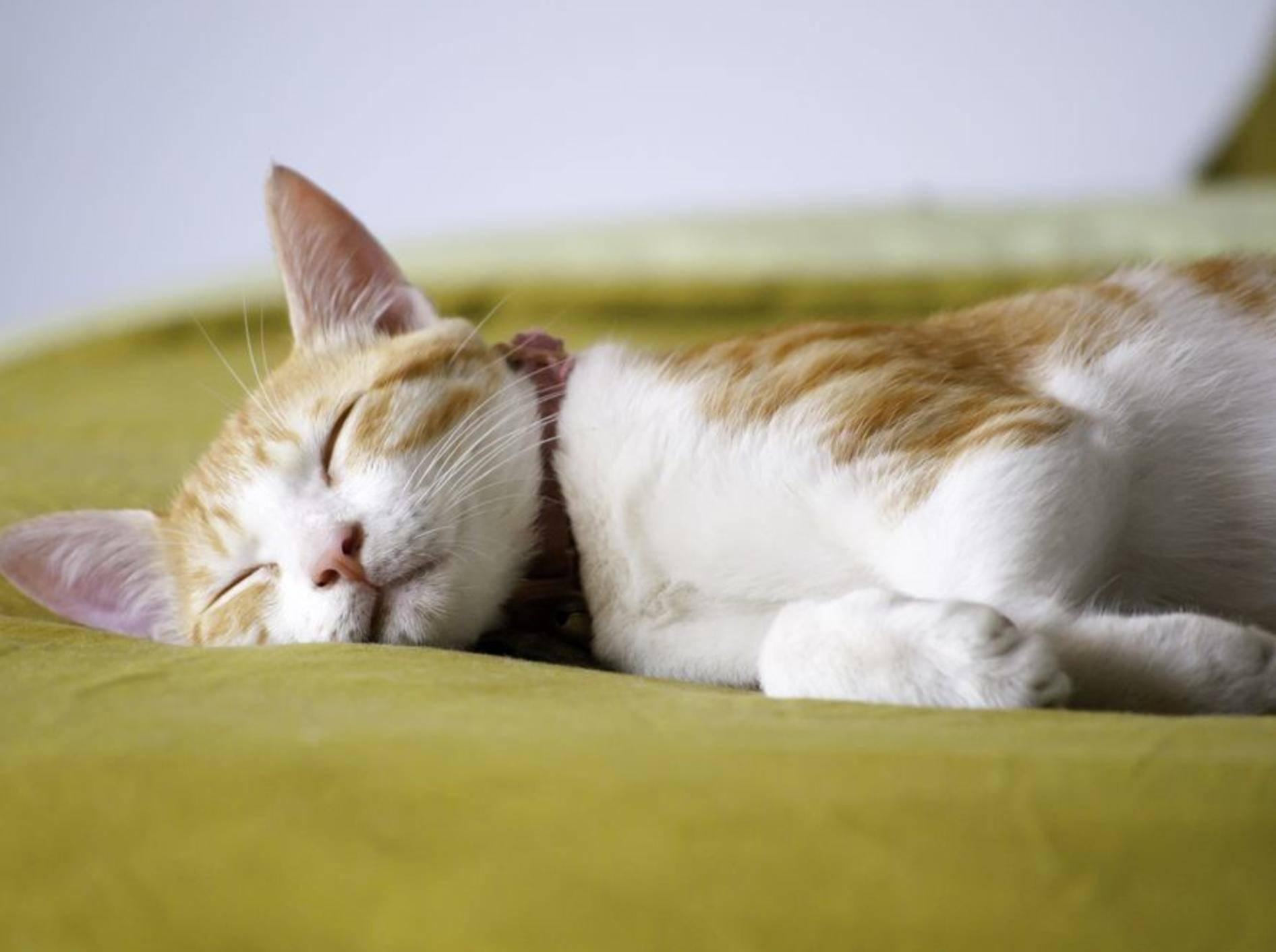 rot-weisse-katze-schläft