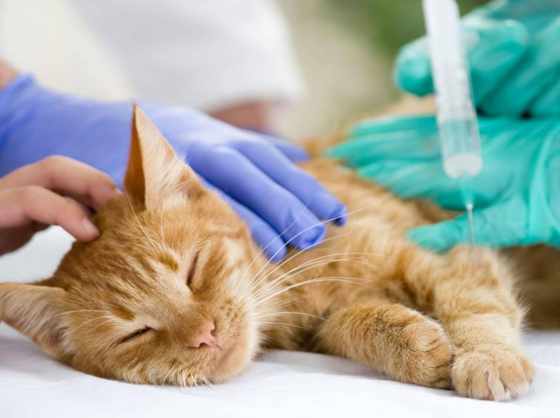 Die Katzenkrankheit FIP kann über Bluttests und Entnahme von Flüssigkeit aus der Bauchhöhle diagnostiziert werden – Bild: Shutterstock / VP Photo Studio