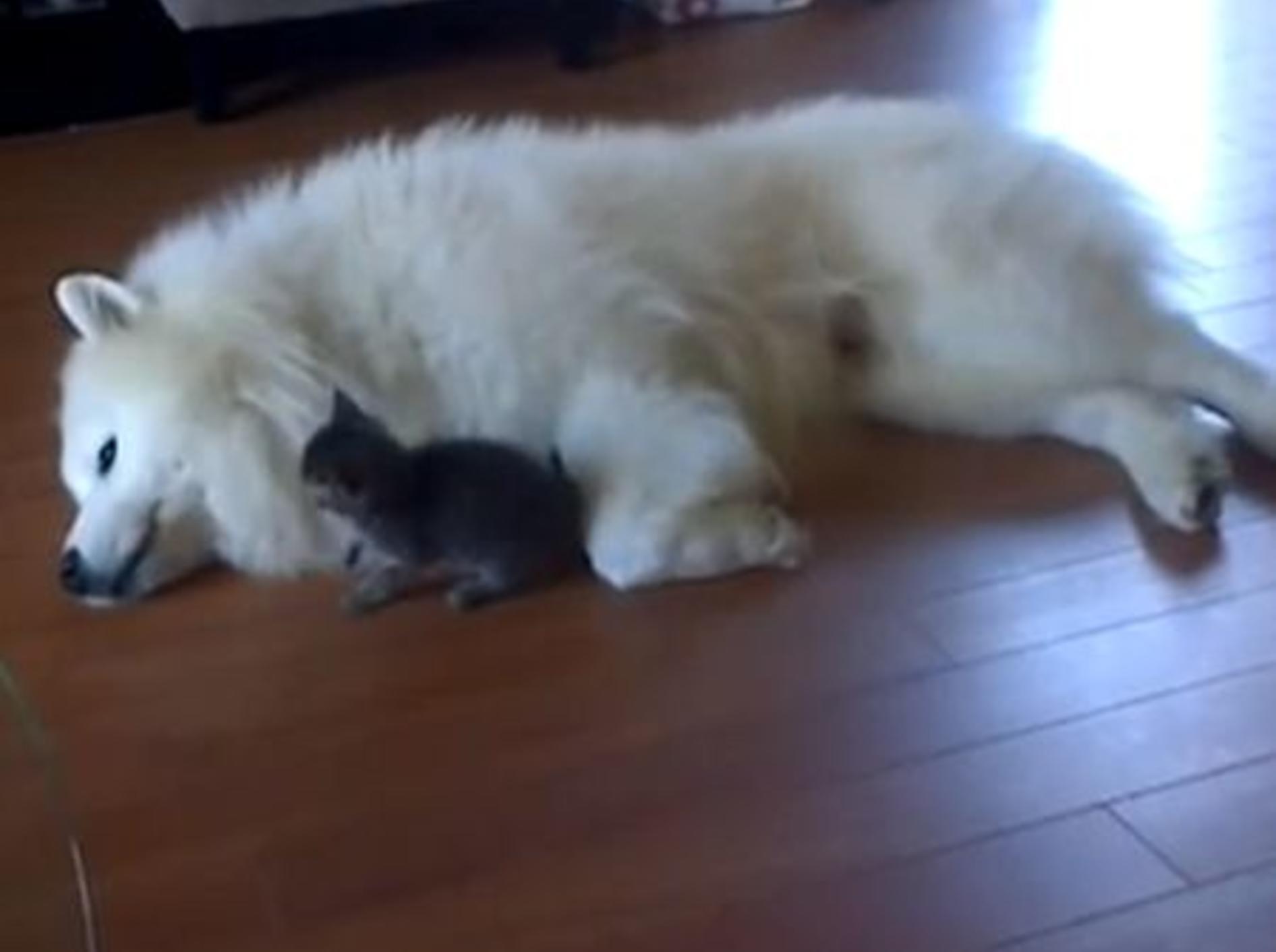 Groß und klein sind beste Freude: Samojede Vidor und das minikleine Katzenbaby – Bild: Youtube / Jessica Lamb•