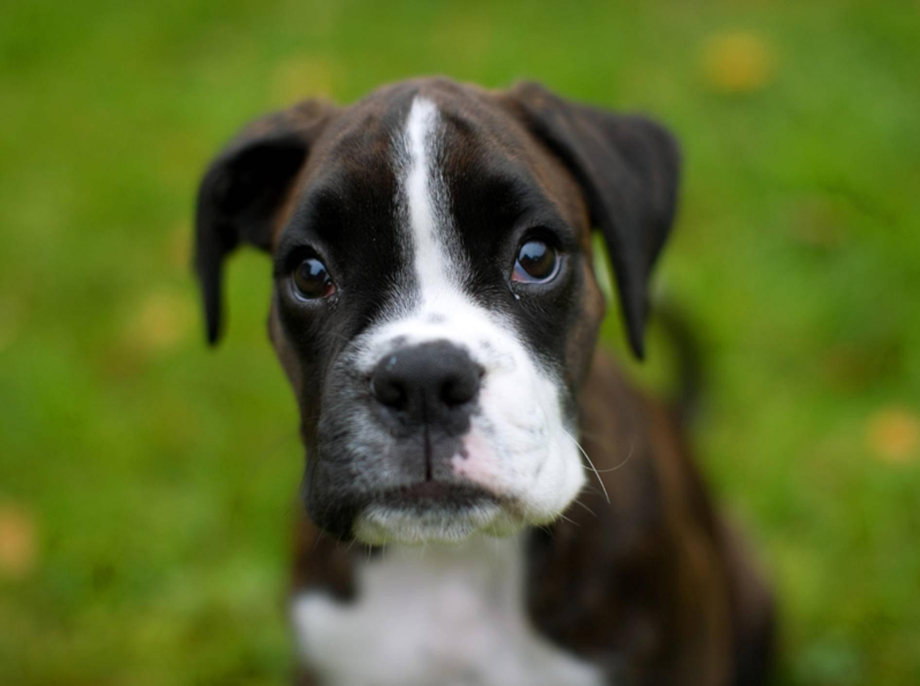 Deutsche Boxer beherrschen den Hundeblick in Perfektion – Bild: Shutterstock / Rasmus Holmboe Dahl