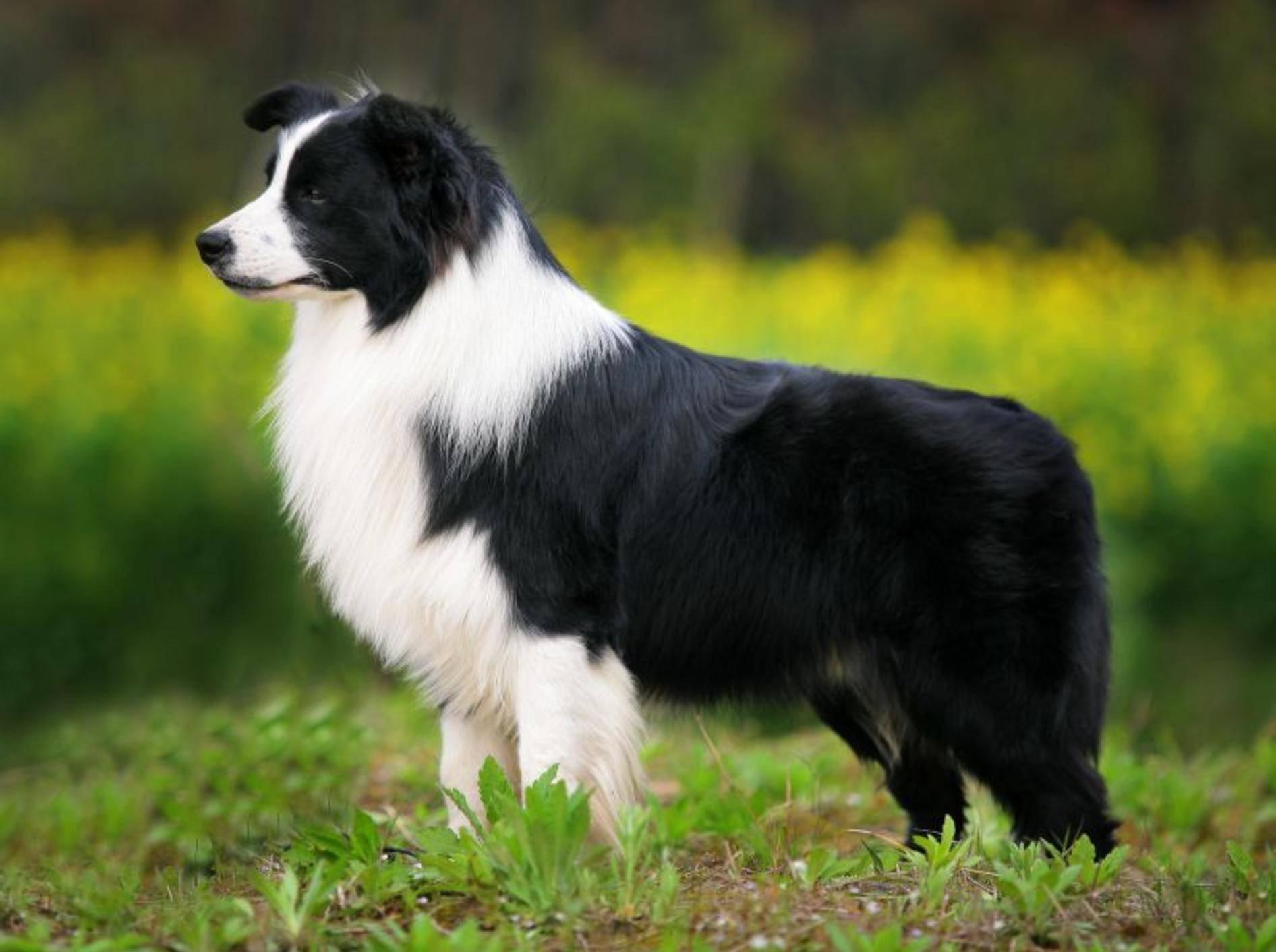 Border-Collie-Hund-Draussen