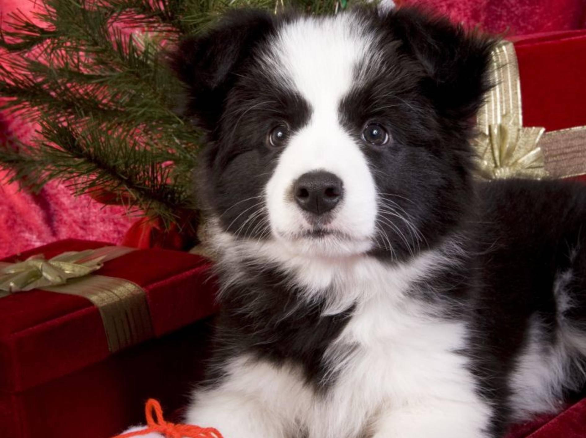 Border-Collie-Hund-Weihnachten