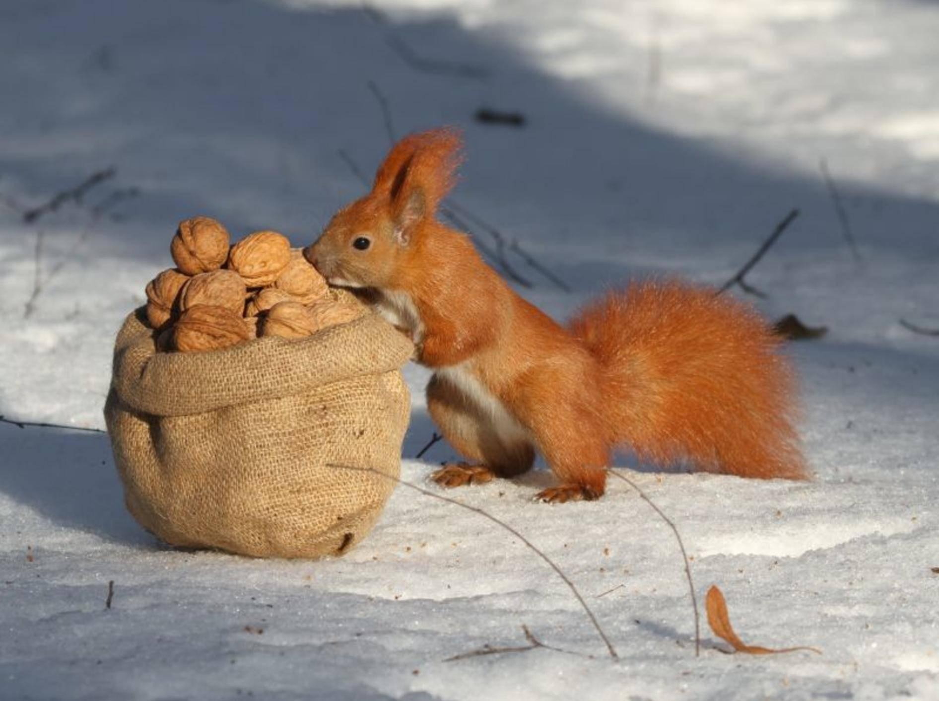 So kennen und lieben wir Eichhörnchen: Beim Nüsse sammeln und futtern – Bild: Shutterstock / FomaA