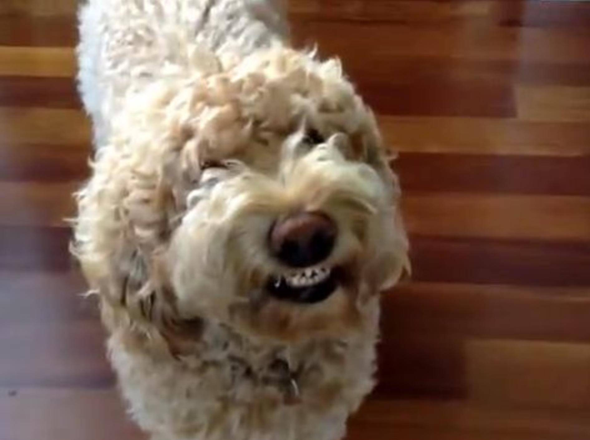 "Compilation: Süße Hunde haben ""gut Lachen""! – Bild: Youtube / funnyplox"
