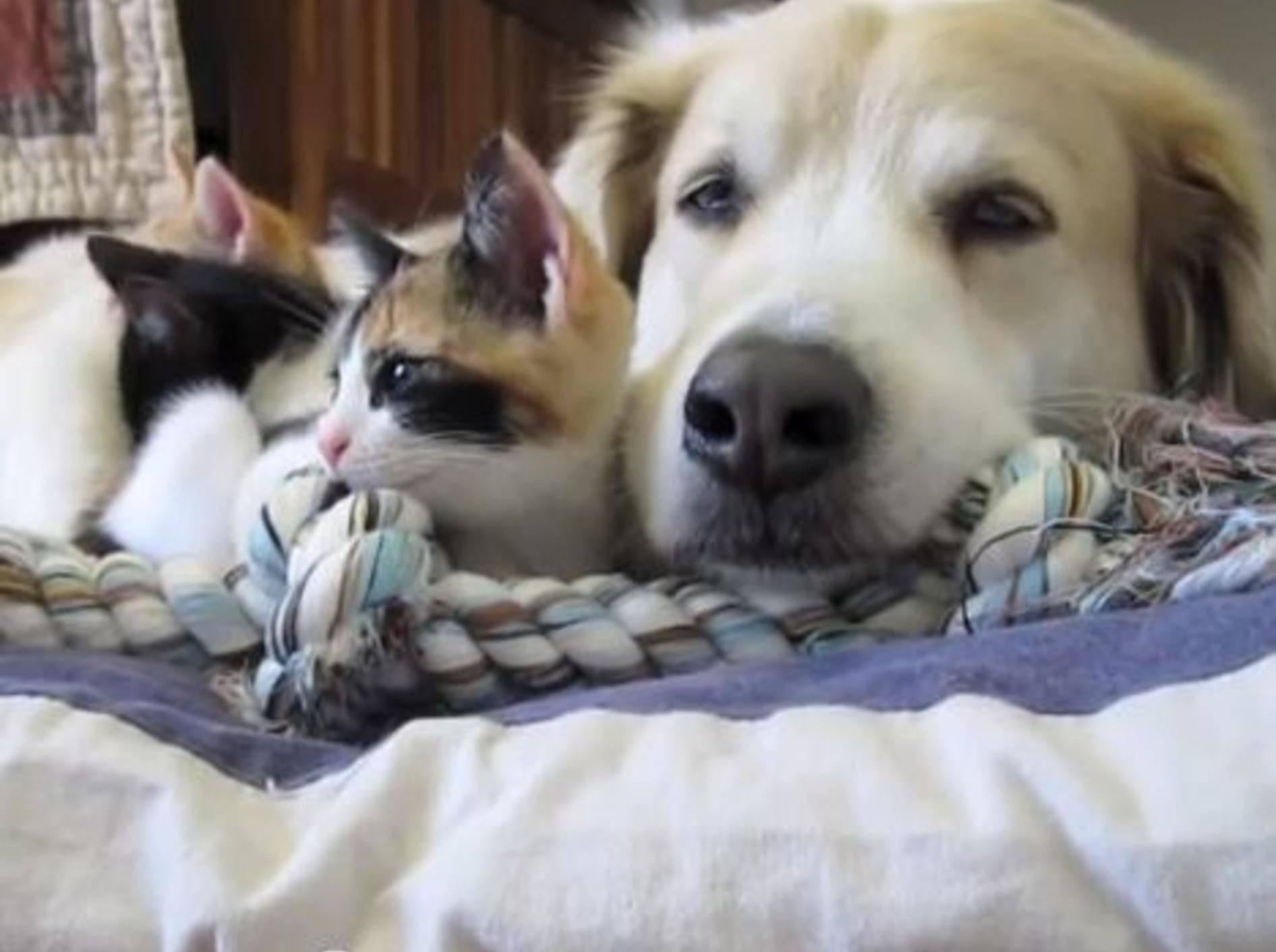 Hund und Babykatzen machen Mittagspause – Bild: Youtube / dcjanelle