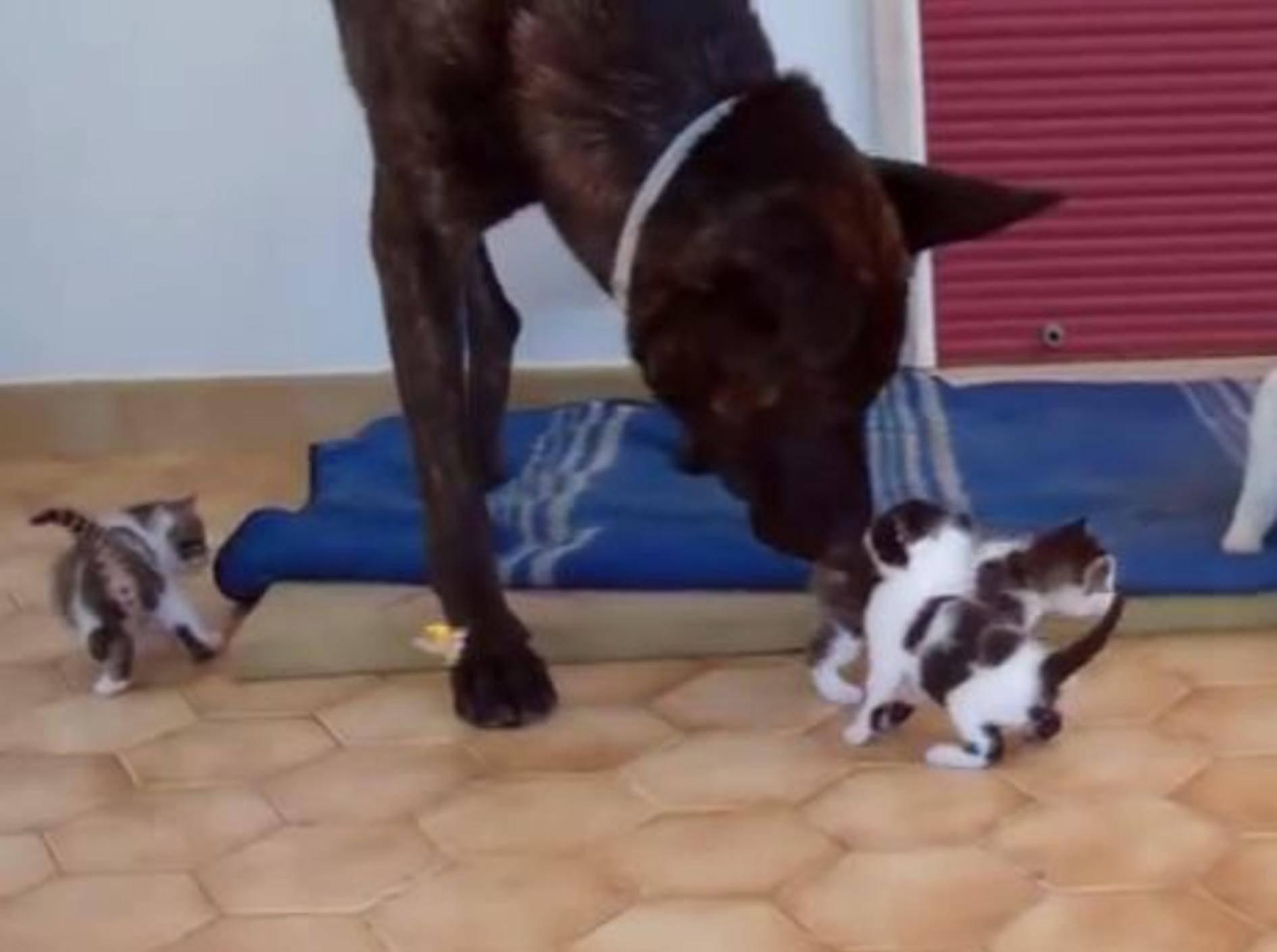 Kleine Katzen, großer Babysitter – Bild: Youtube / Rifugio Alliste-Felline