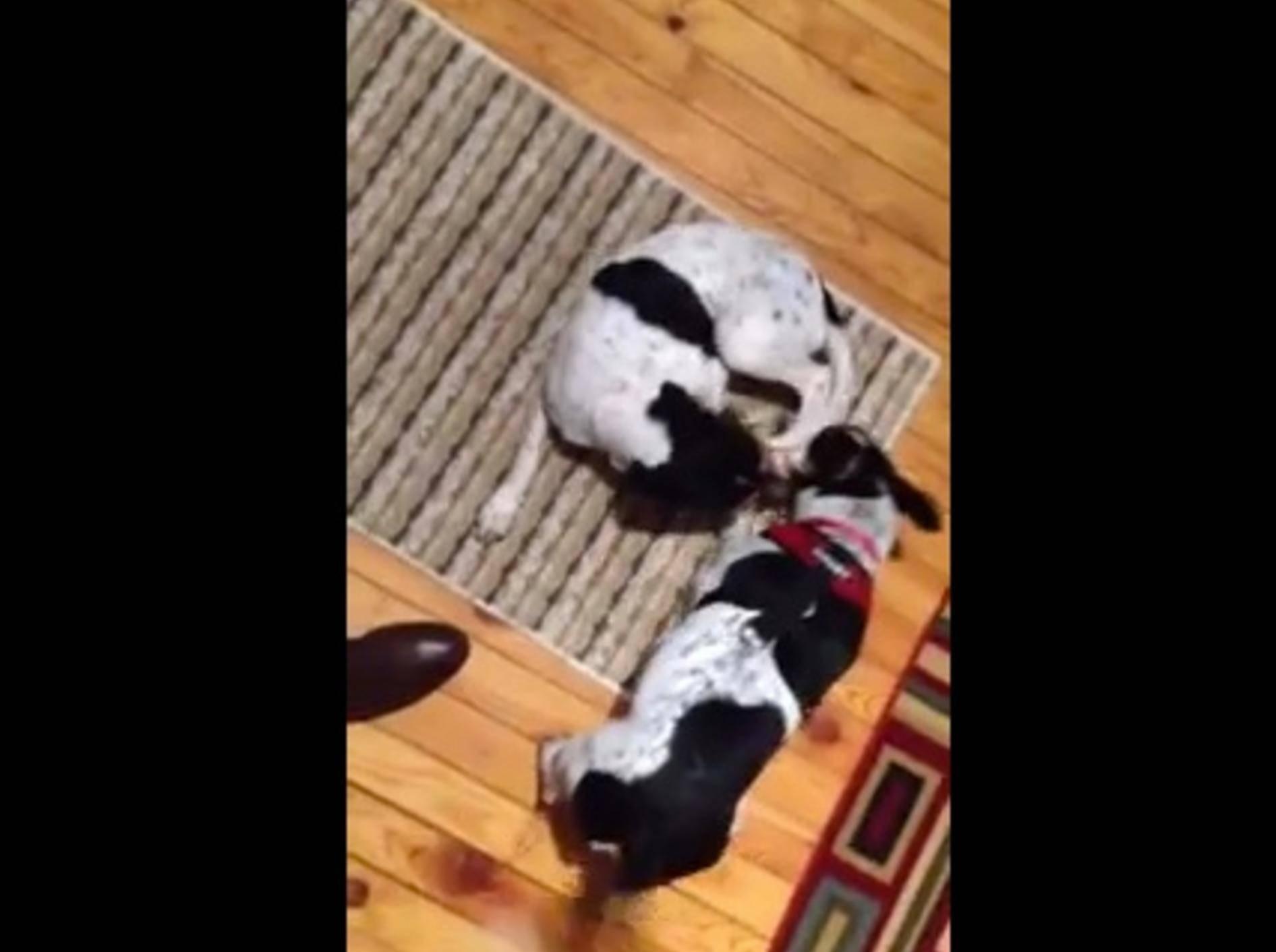 Zwei Hunde feiern tierisch schönes Wiedersehen – Bild: Youtube / foxtail7777