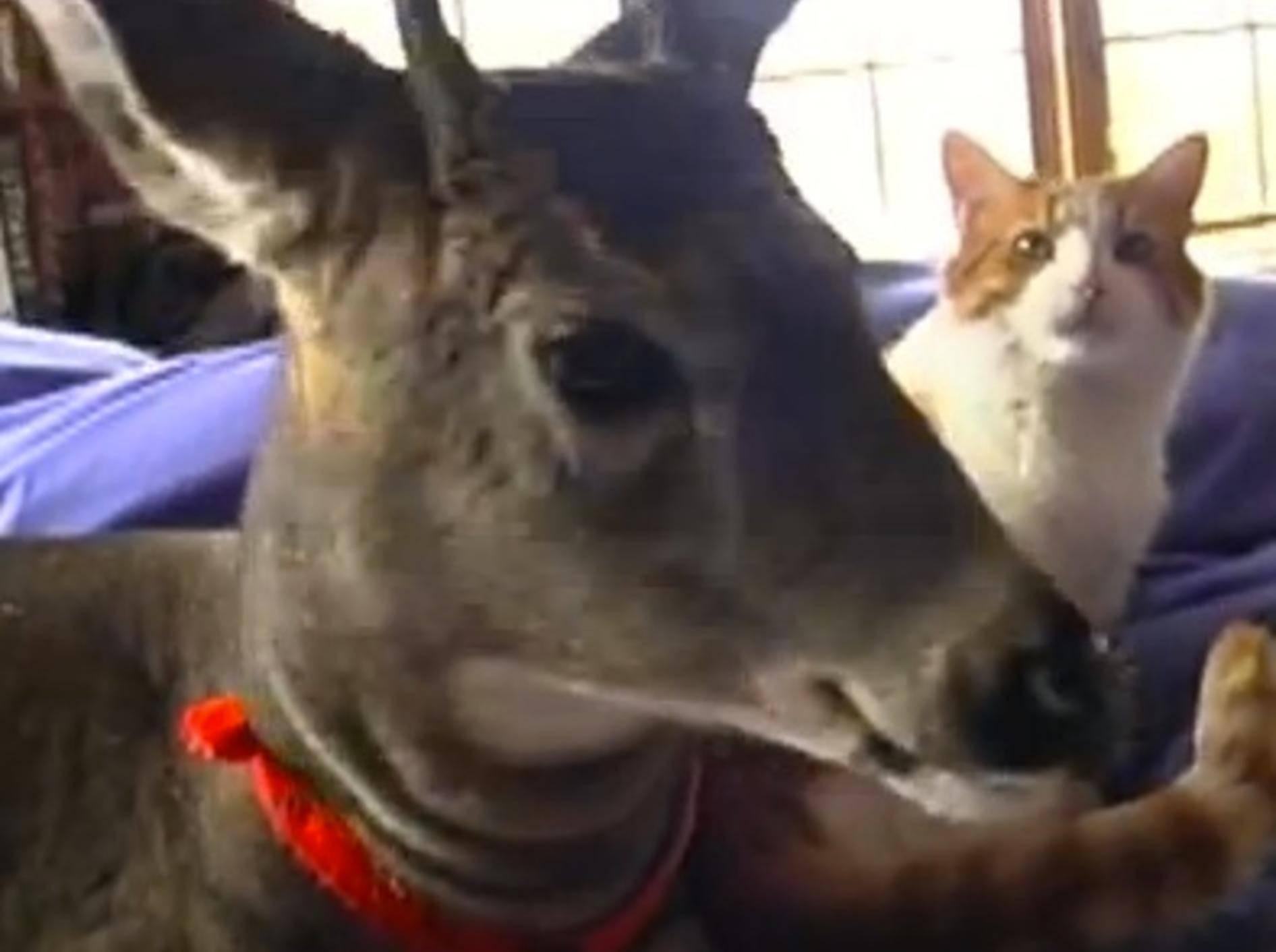 Liebe Katze kümmert sich um XXL-Waisentier – Bild: Youtube / hoppythedeer