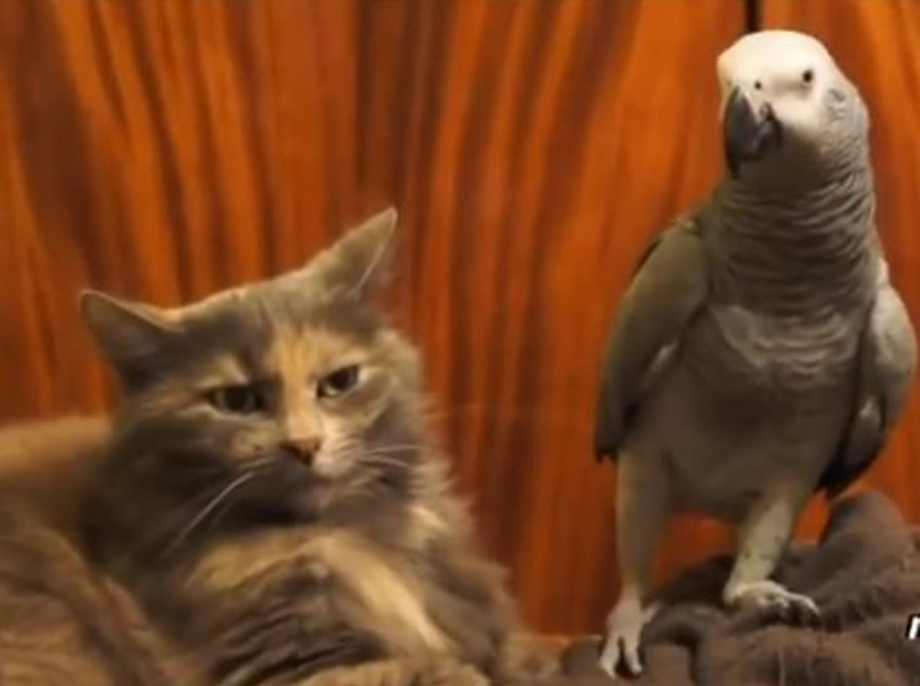 Compilation: Wenn Papagaien Katzen ärgern – Bild: Youtube / mihaifrancu