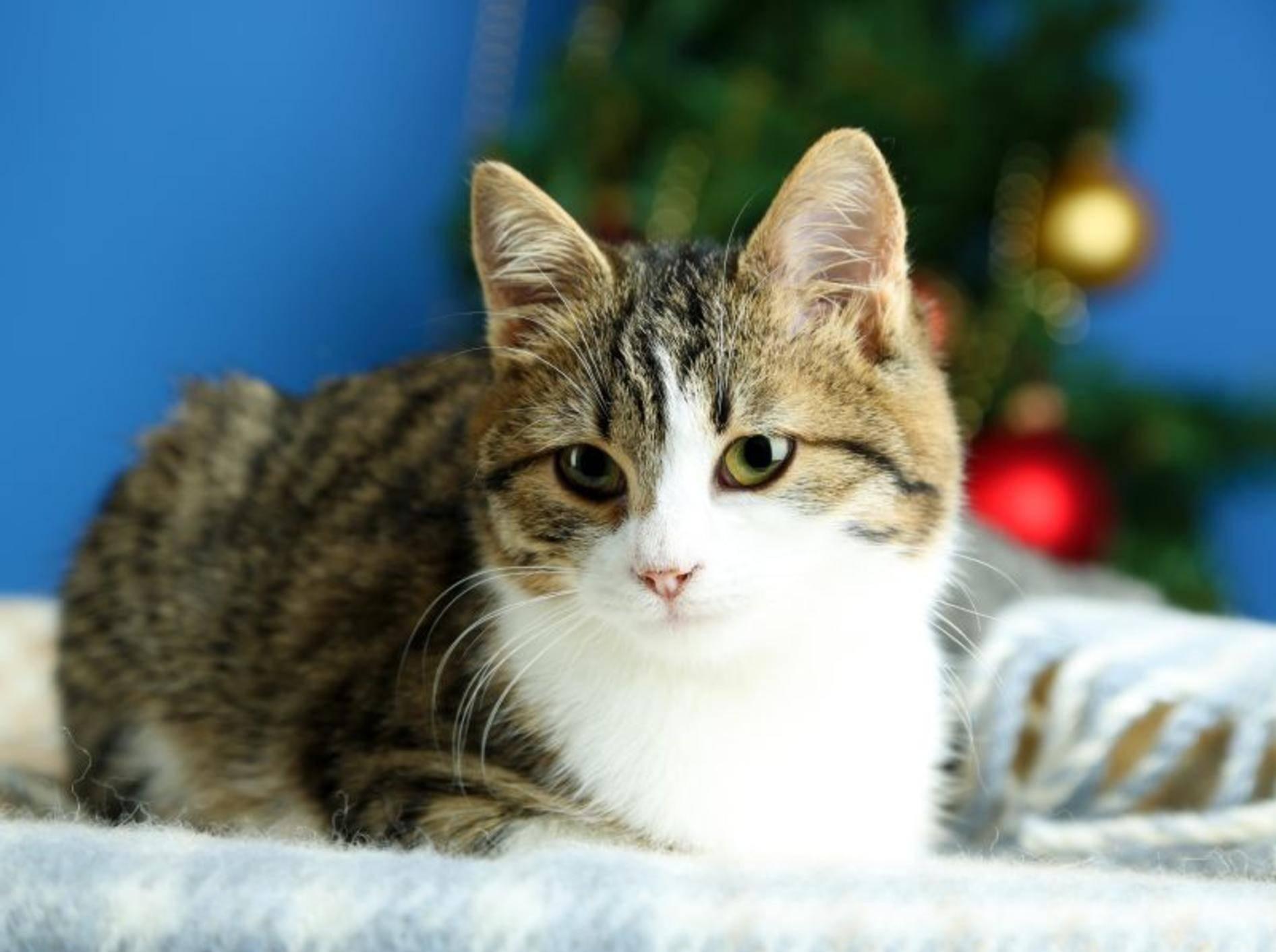 Das perfekte Weihnachts-Dinner für Katzen – Bild: Shutterstock / Africa Studio