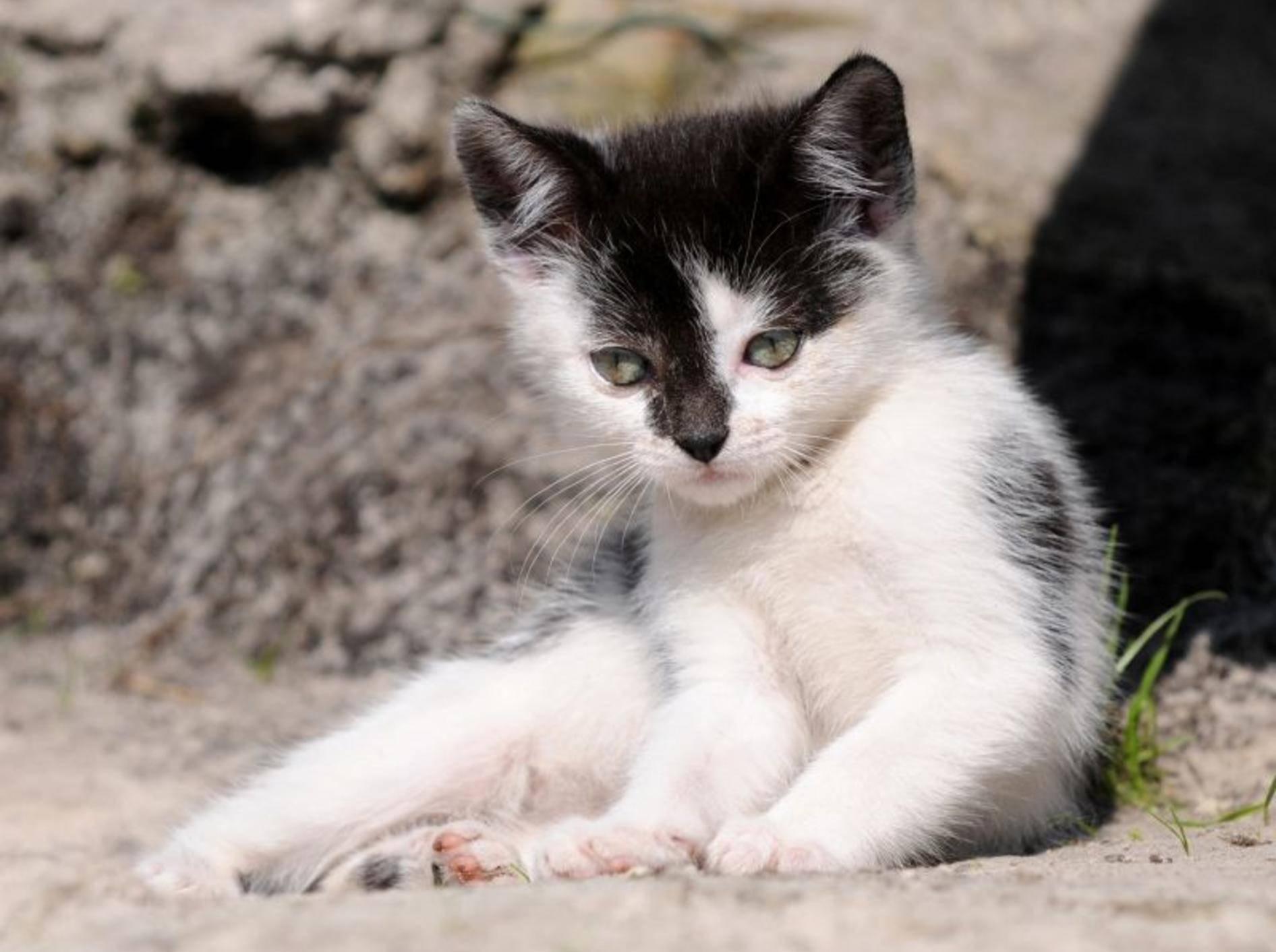 Wunderschön, so ein Kuhmuster, oder? Dieses Katzenbaby macht seinen ersten Ausflug – Bild: Shutterstock / Schubbel