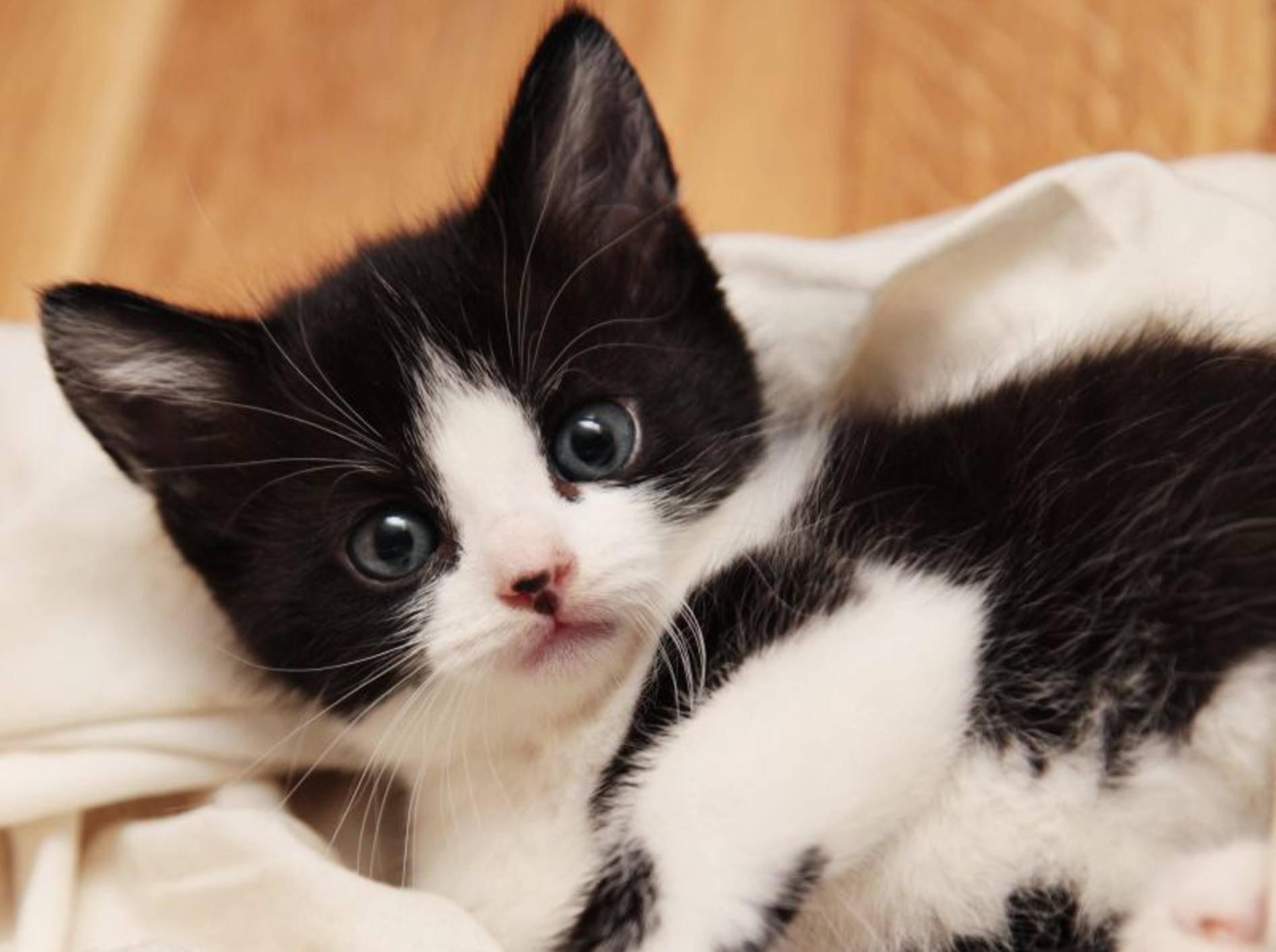 Wie süß: Kuschelzeit mit einem Kuhmuster-Katzenbaby – Bild: Shutterstock / Foonia