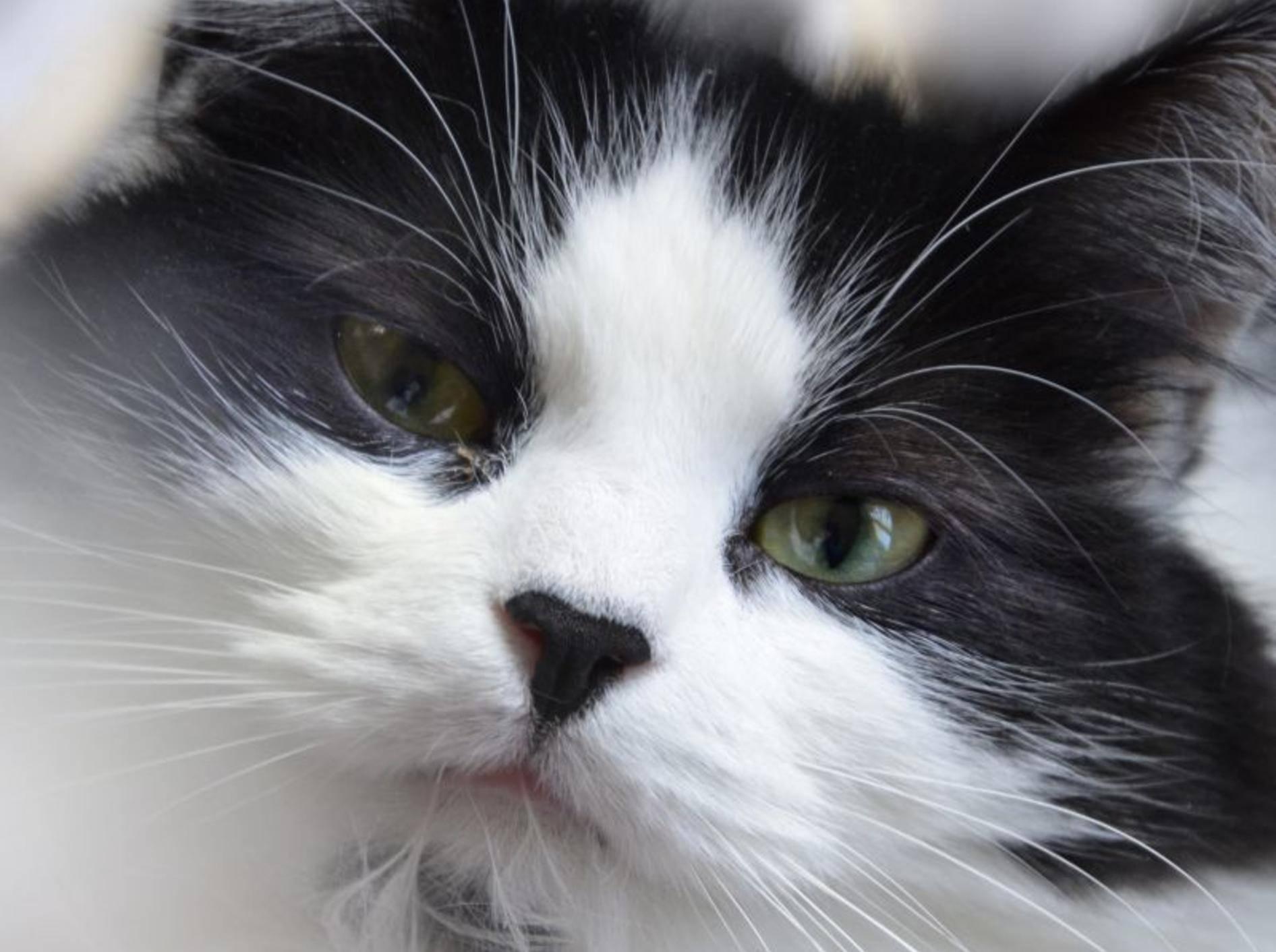 Schwarz-weiß und wunderschön: Das ist eine Maine Coon – Bild: Shutterstock / Nicole Gordine