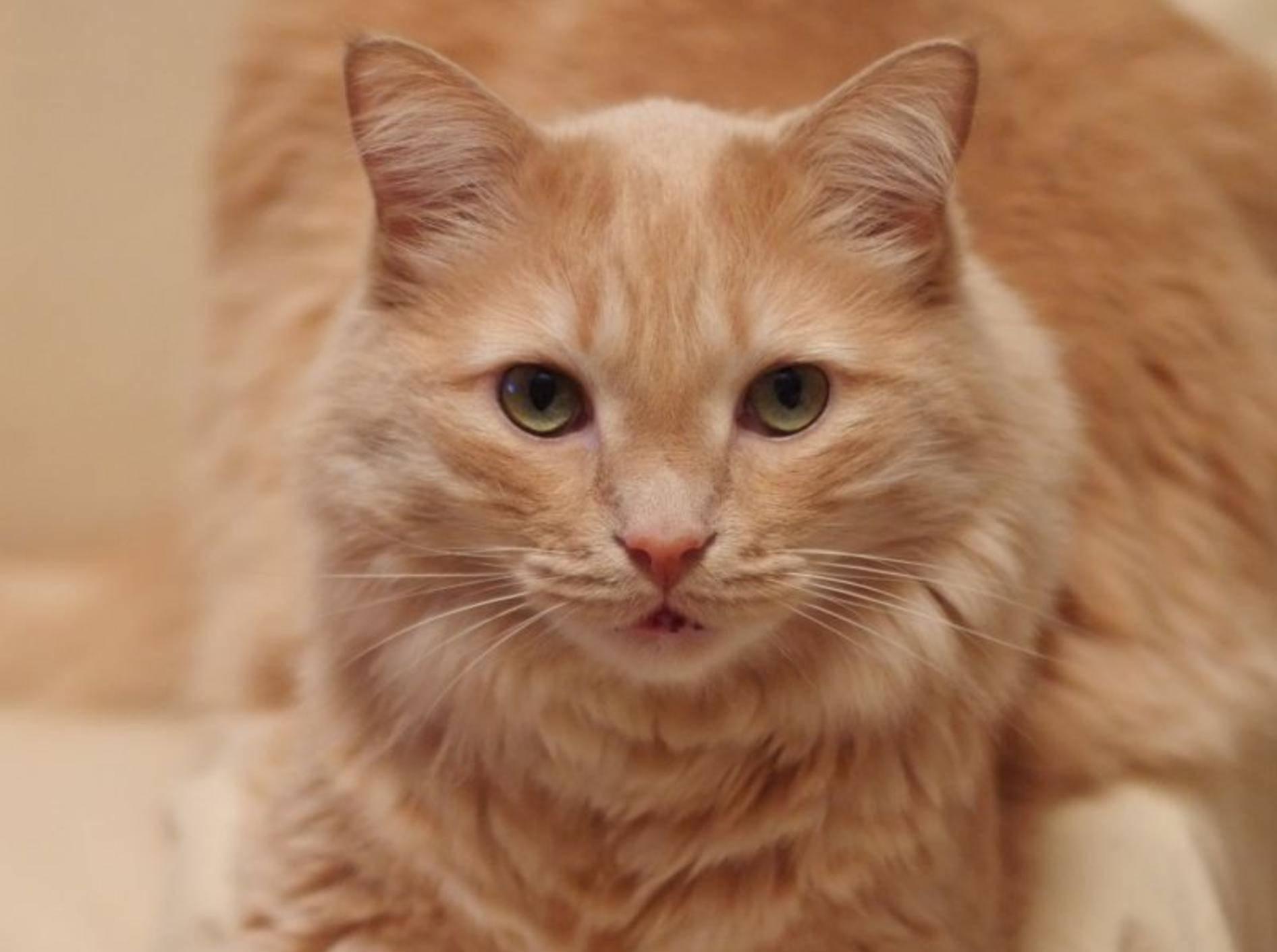 Katzenkrankheit HCM: Die Diagnose stellt der Tierarzt – Bild: Shutterstock / cartela
