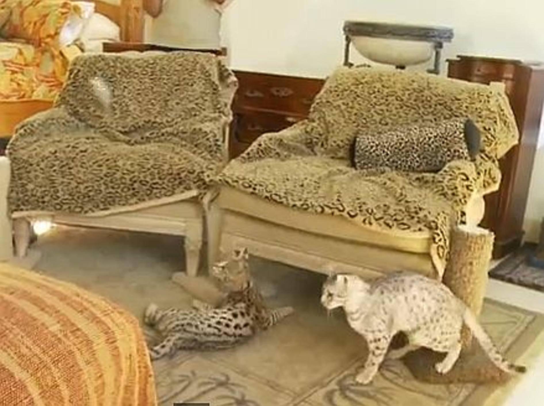 Vorhang auf für eine kleine Bande Ocicats! – Bild: Youtube / The Pet Collective
