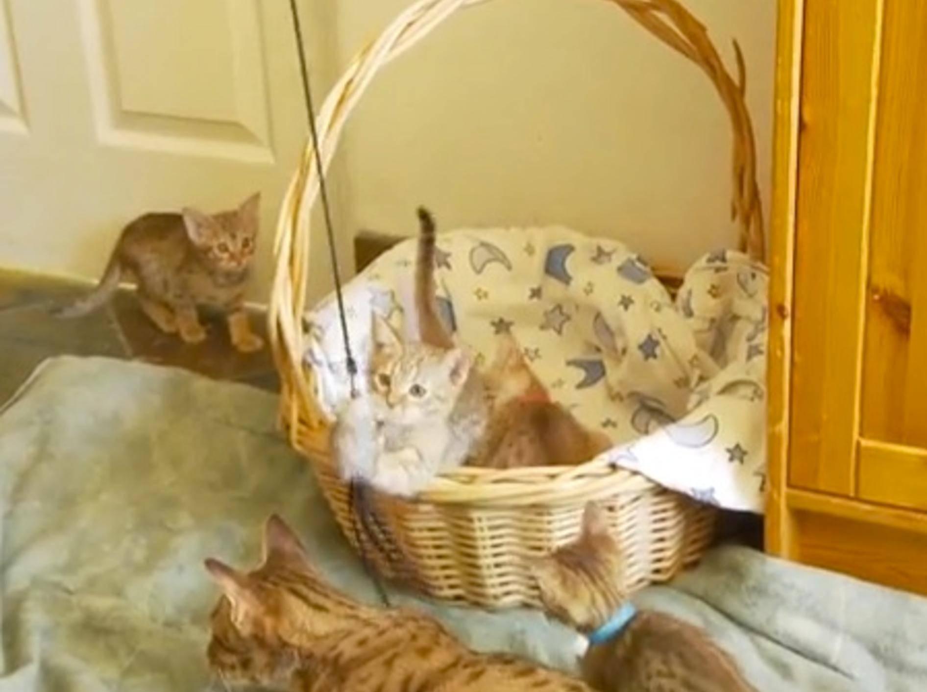 Ocicat Katzenbabys lieben ihr neues Spielzeug – Bild: Youtube / The Pet Collective