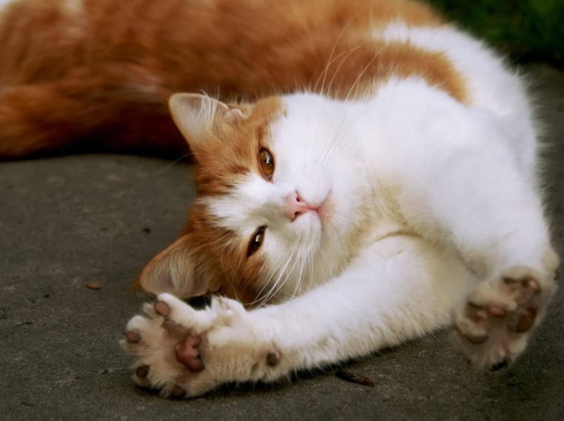 Das sieht gemütlich aus! Eine rote Katze streckt sich nach Herzenslust – Bild: Shutterstock / Nataliya_Ostapenko