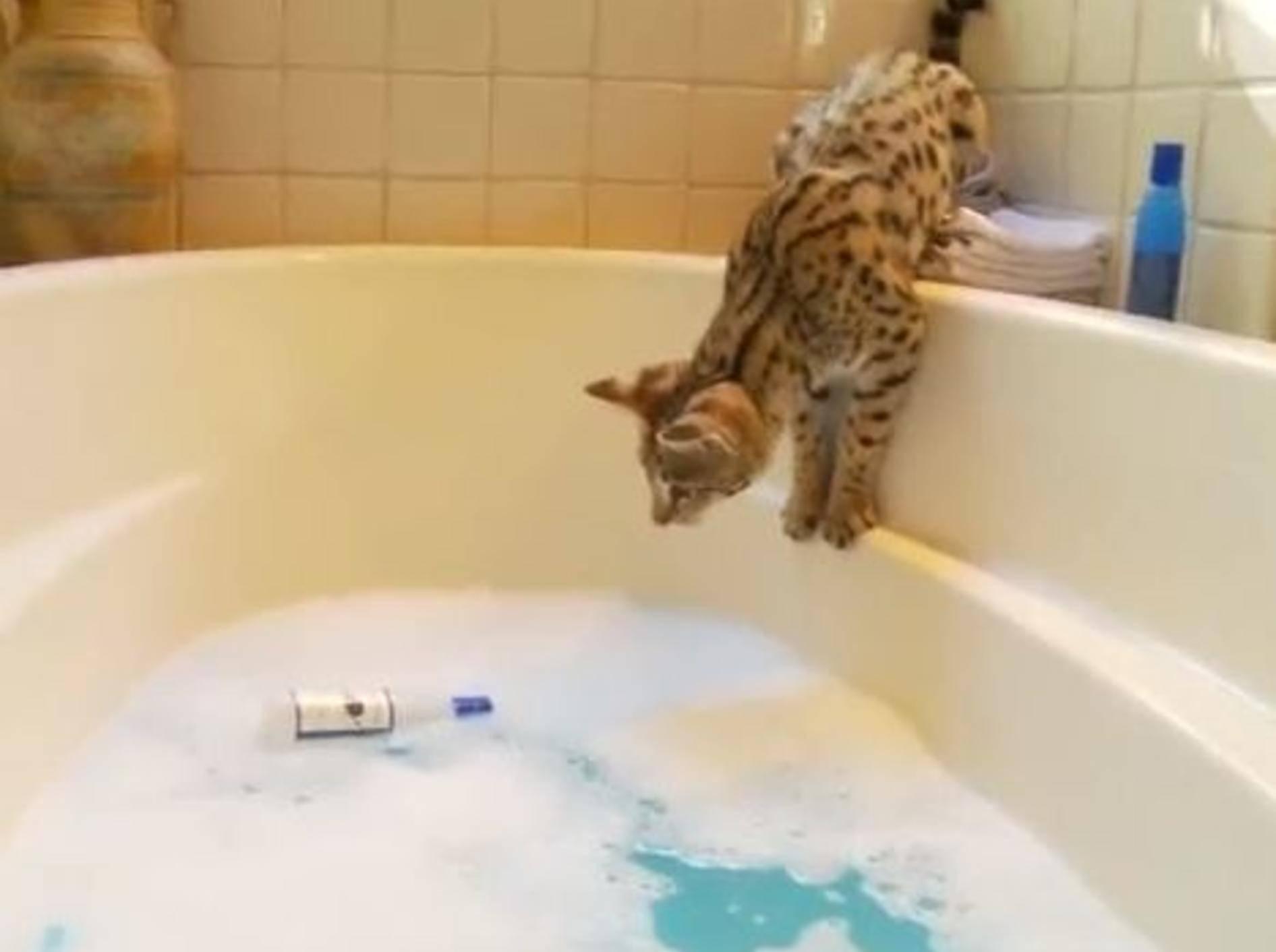 Savannah-Katze holt ihr Spielzeug aus der Badewanne – Bild: Youtube / The Pet Collective