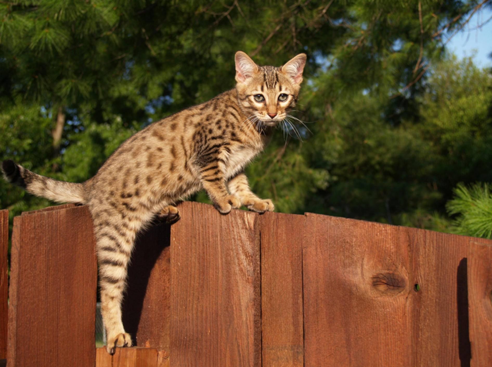 Die Savannah-Katze hat ein freundliches und verspieltes Wesen – Bild: Shutterstock / Lindasj22