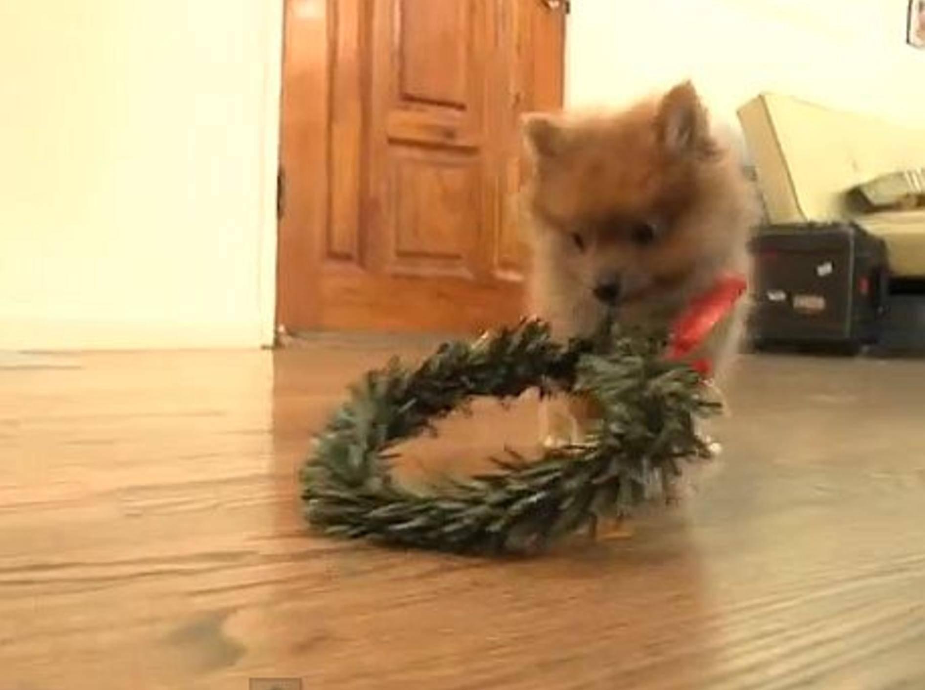 Flauschiger Babyspitz: Wow,ein Adventskranz! – Bild: Youtube / The Pet Collective