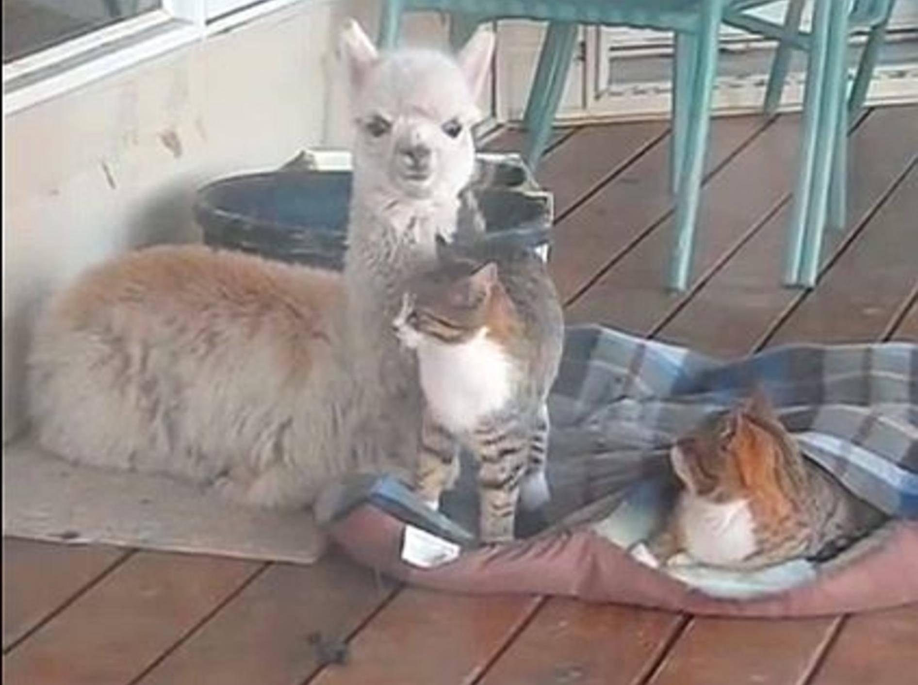 Flauschige Freunde: Alpaka und zwei Katzen – Bild: Youtube / A to Z Alpacas