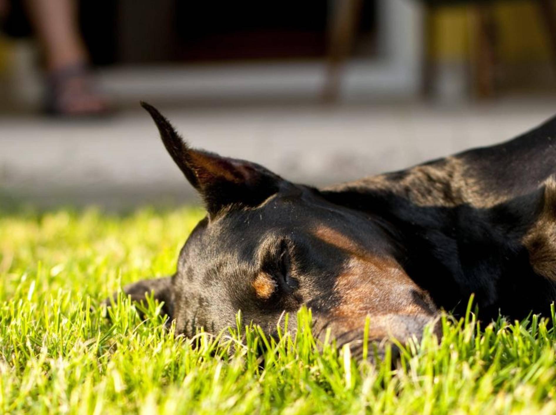 Ist ein Hund ständig müde, kann eine Schilddrüsenunterfunktion dafür verantwortlich sein – Bild: Shutterstock / Bartek Lichocki