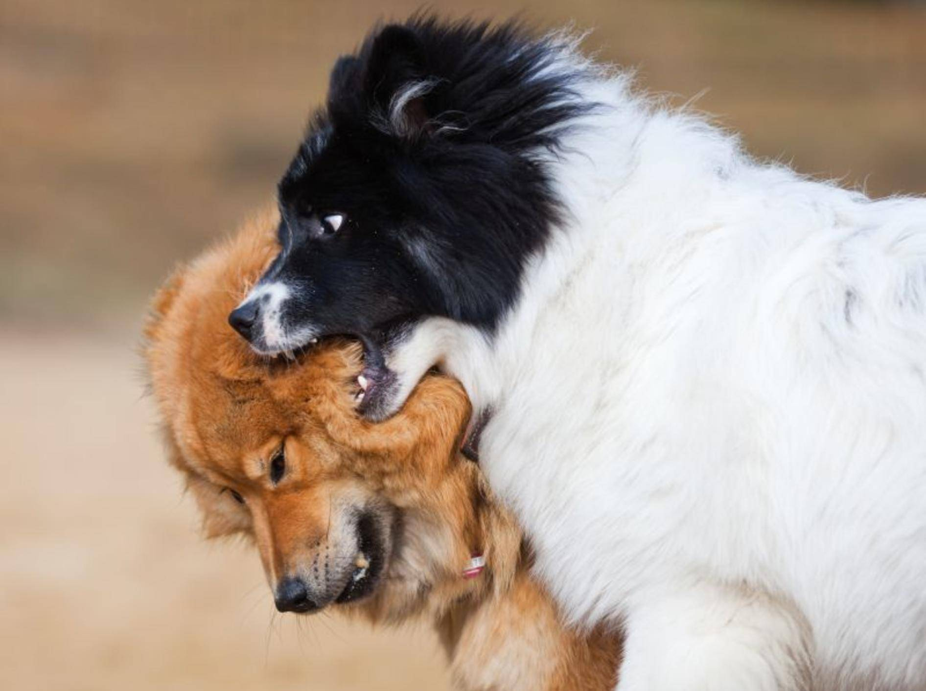 Vorsicht: Kämpfe aus Eifersucht sind bei Hunden ernster als welche um den Rang – Bild: Shutterstock / Christian Mueller