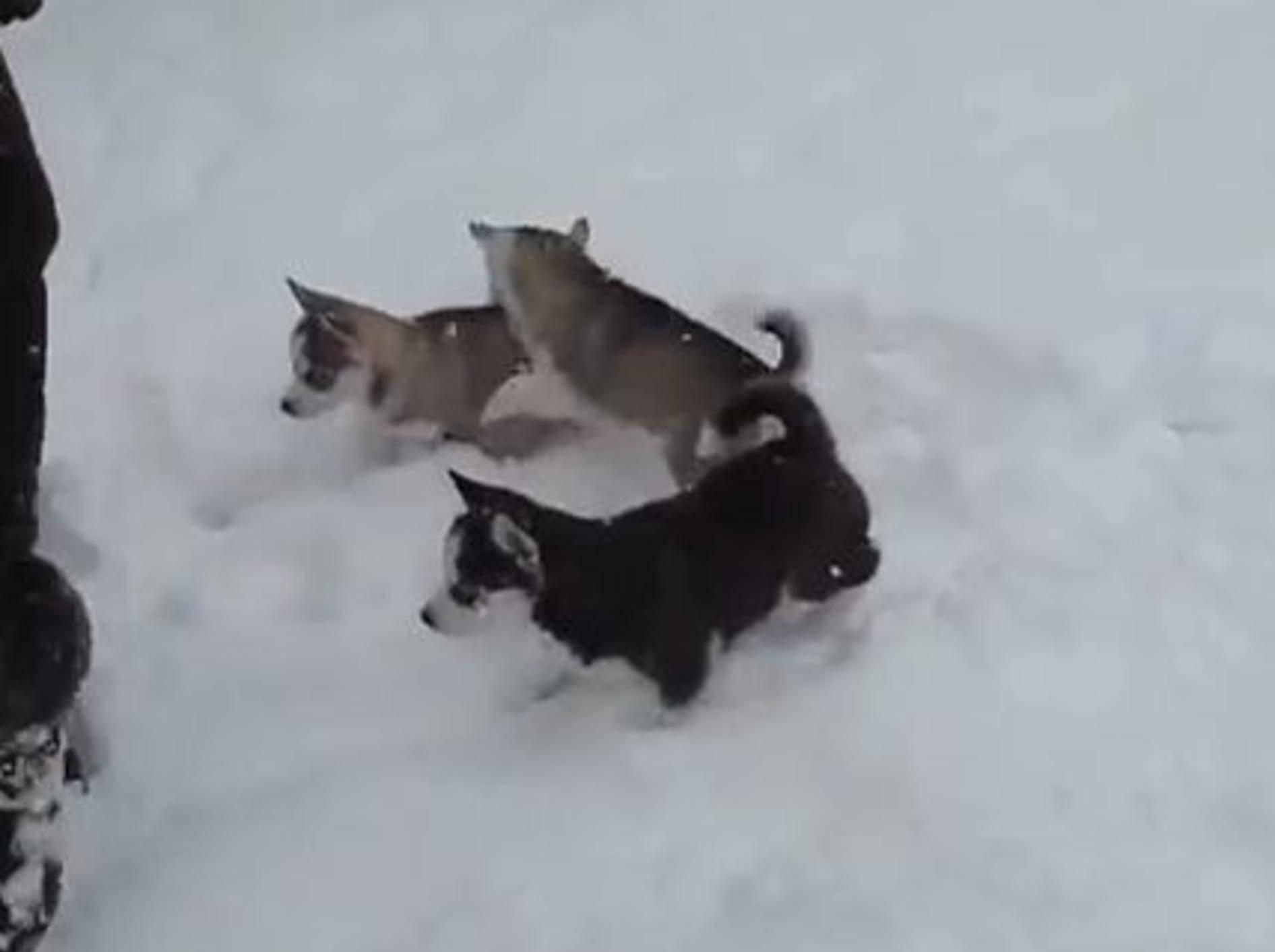 Schneevergnügen mit Baby-Huskys – Bild: Youtube / BlueEyeHuskies