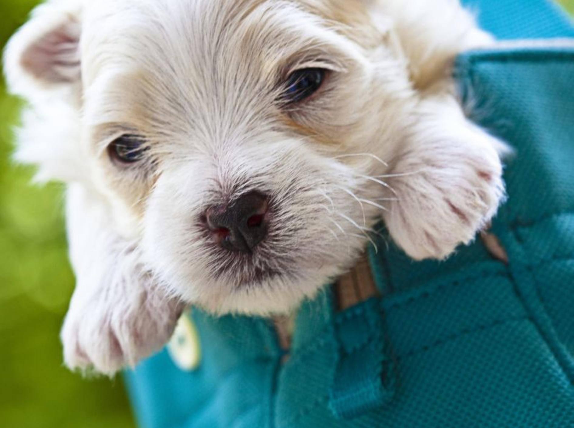Der Malteser Hund: Ein lieber kleiner Kerl – Bild: Shutterstock / TheLionRoar