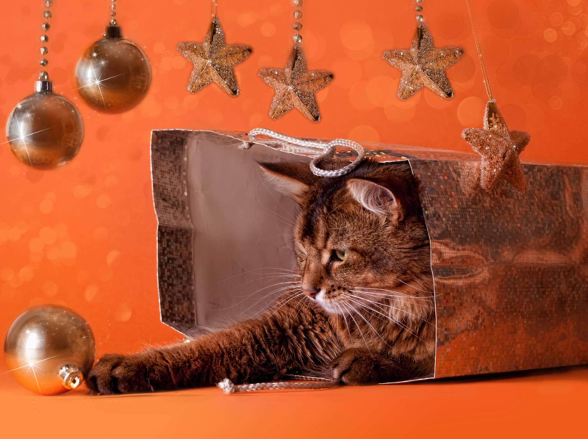 Für die Somali-Katze ist die Weihnachtsgeschenkverpackung das Schönste - Bild: Shutterstock / Julia Shepeleva