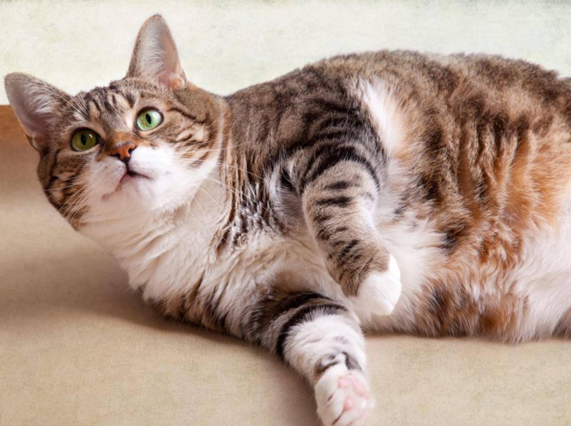 Dickes Fell oder dicke Katze? – Bild: Shutterstock / Nailia Schwarz