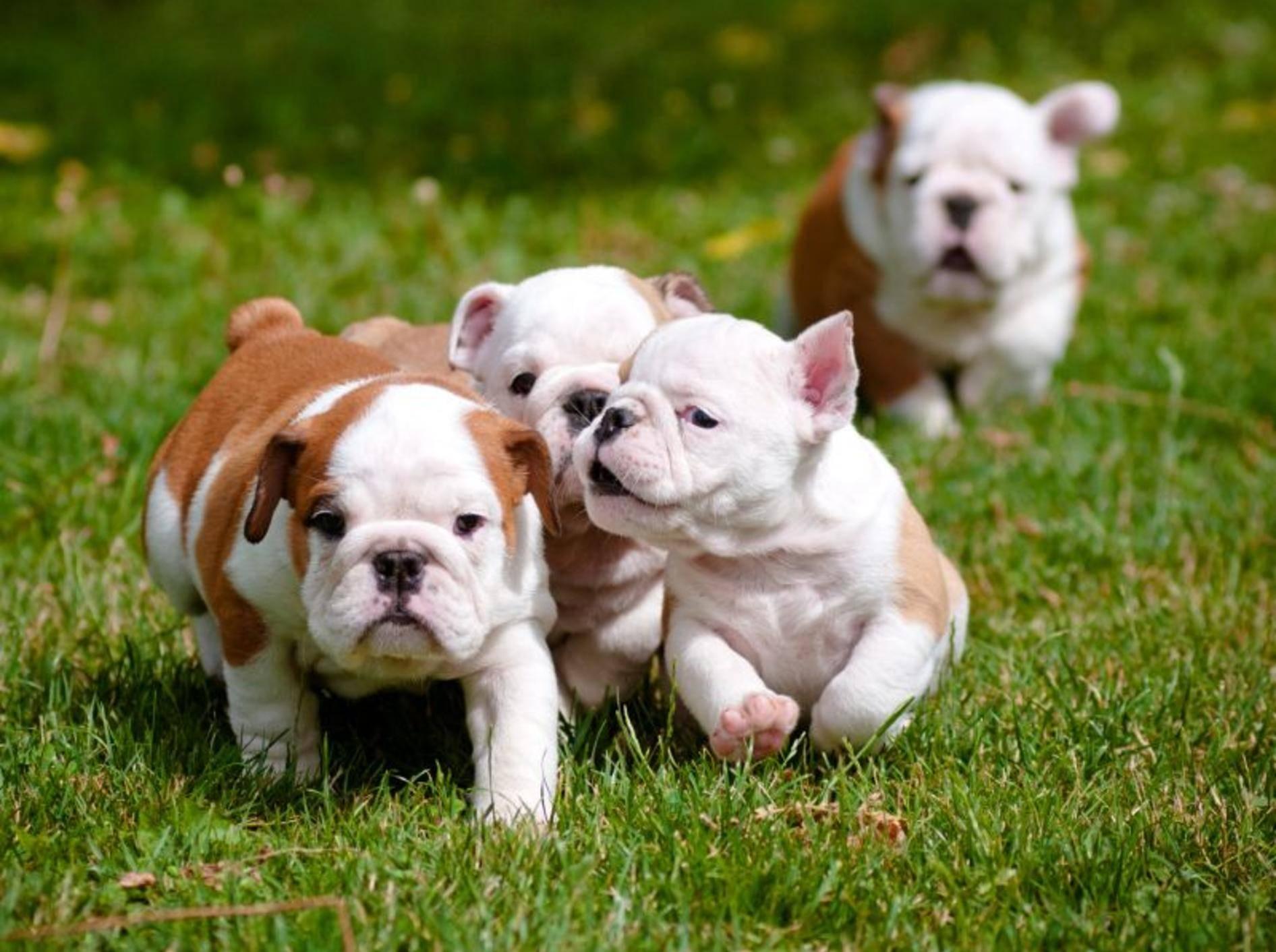 Wie Englische Bulldoggen ihre ersten Ausflüge ins Grüne am besten genießen können? Na klar, mit ihren Geschwistern! – Bild: Shutterstock / otsphoto