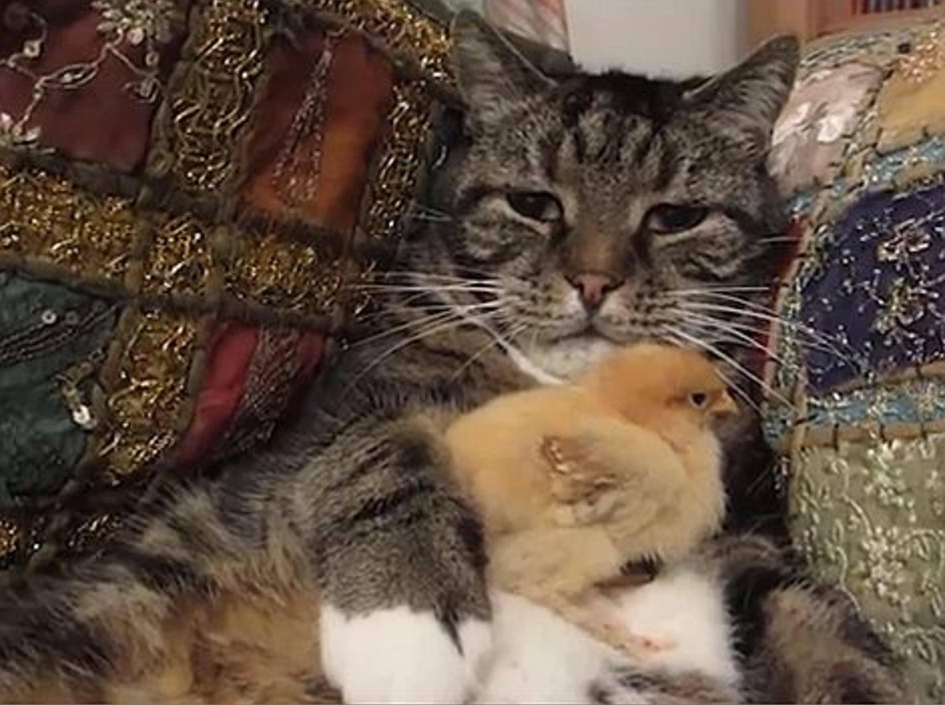 Katze spielt flauschiges Kükensofa – Bild: Youtube / tubbytubbytubtubs