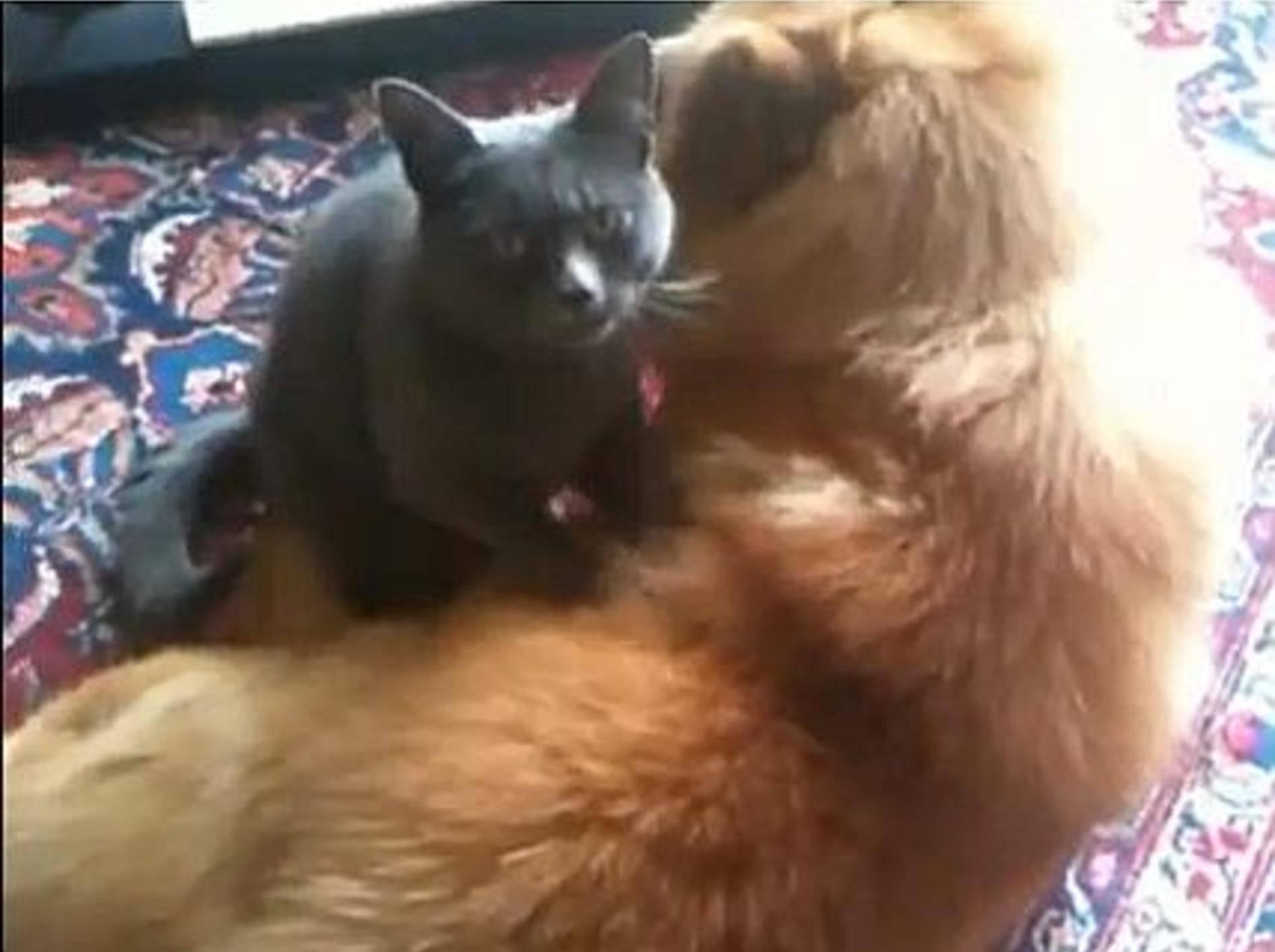 Nicht verpassen: Hunde genießen Katzenmassagen – Bild: Youtube / MrFunnyMals