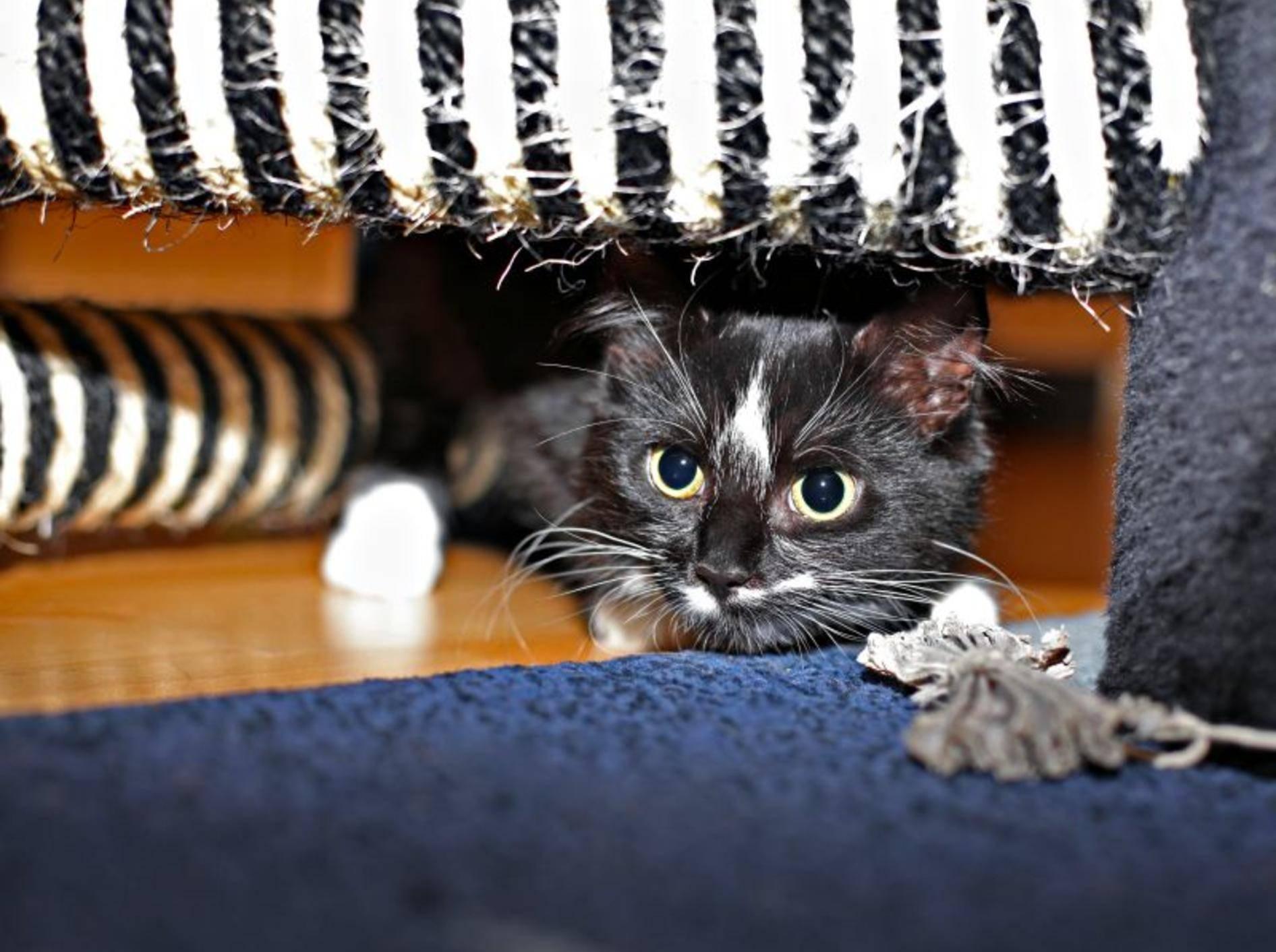 Eifersucht bei Katzen: Schwierig wird, wenn eine sich zurückzieht – Bild: Shutterstock / Alena Stalmashonak