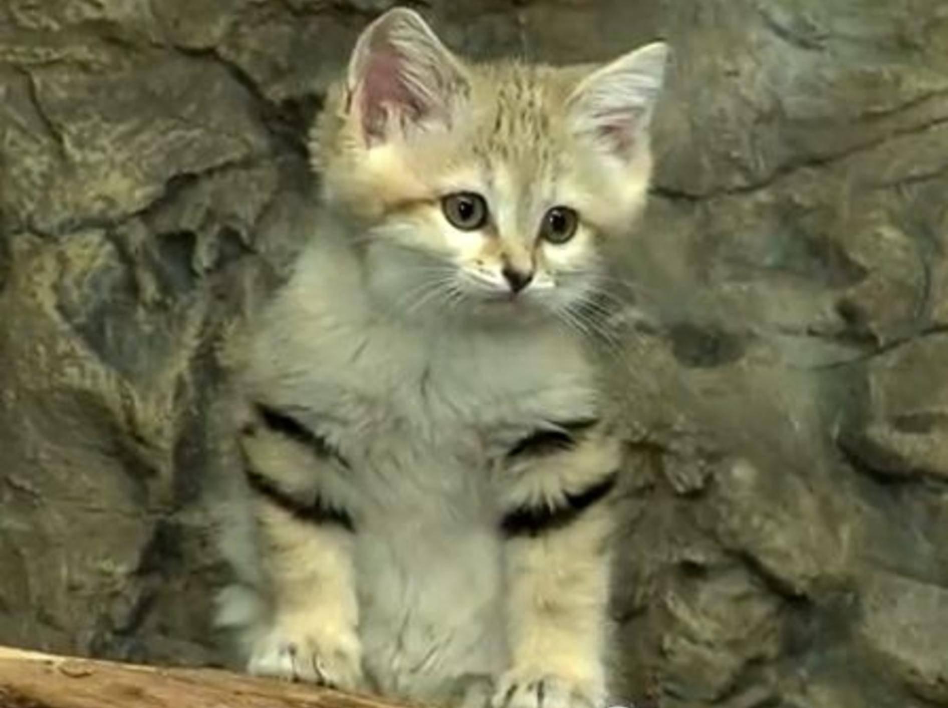 Sandkatze auf Tour: Wild- oder Hauskatze? – Bild: Youtube / The Cincinnati Zoo & Botanical Garden
