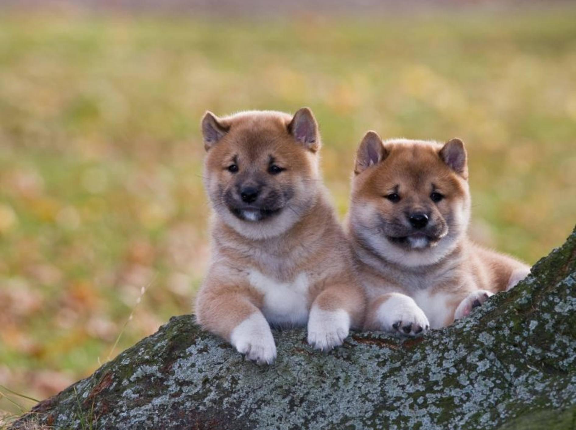 Der Shiba: Ein kluger, wachsamer und sehr selbsständiger Hund aus Japan – Bild: Shutterstock / Lenkadan