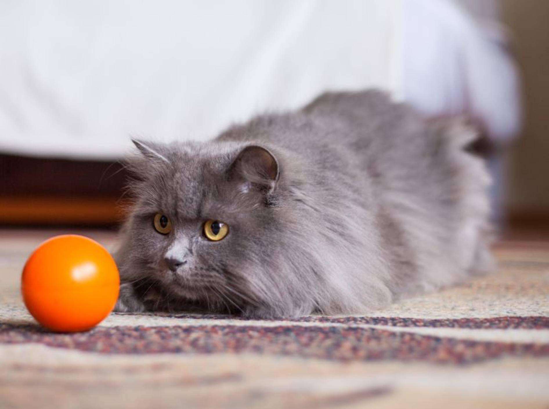 Snackball als Katzenspielzeug: Fitness und Vergnügen – Bild: Shutterstock / Jakub Zak