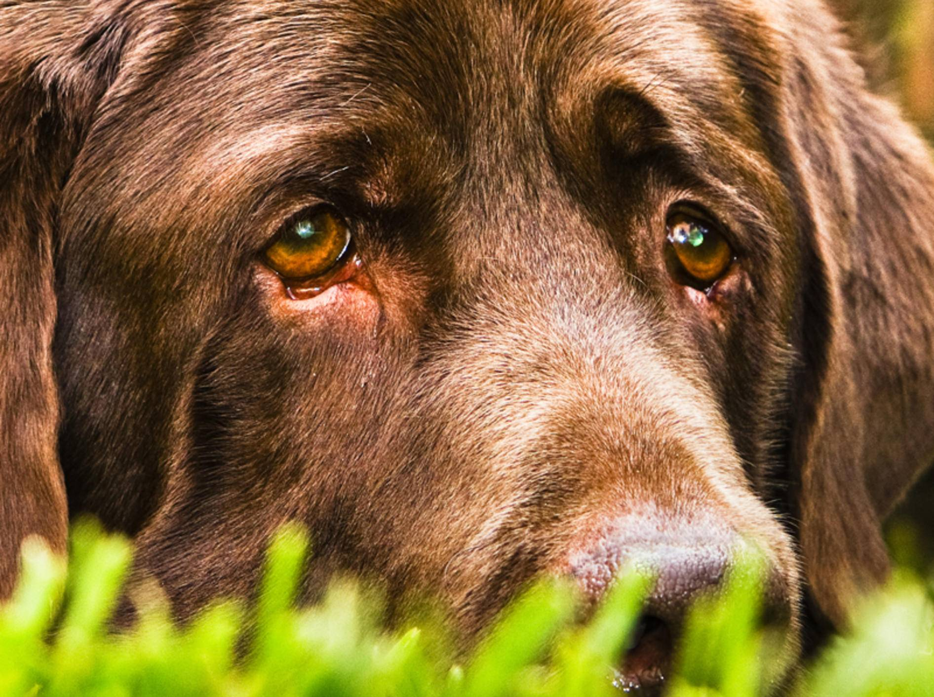 Tränende Augen sind für den Hund unangenehm und können die unterschiedlichsten Auslöser haben – Bild: Shutterstock / Vega Gonzalez