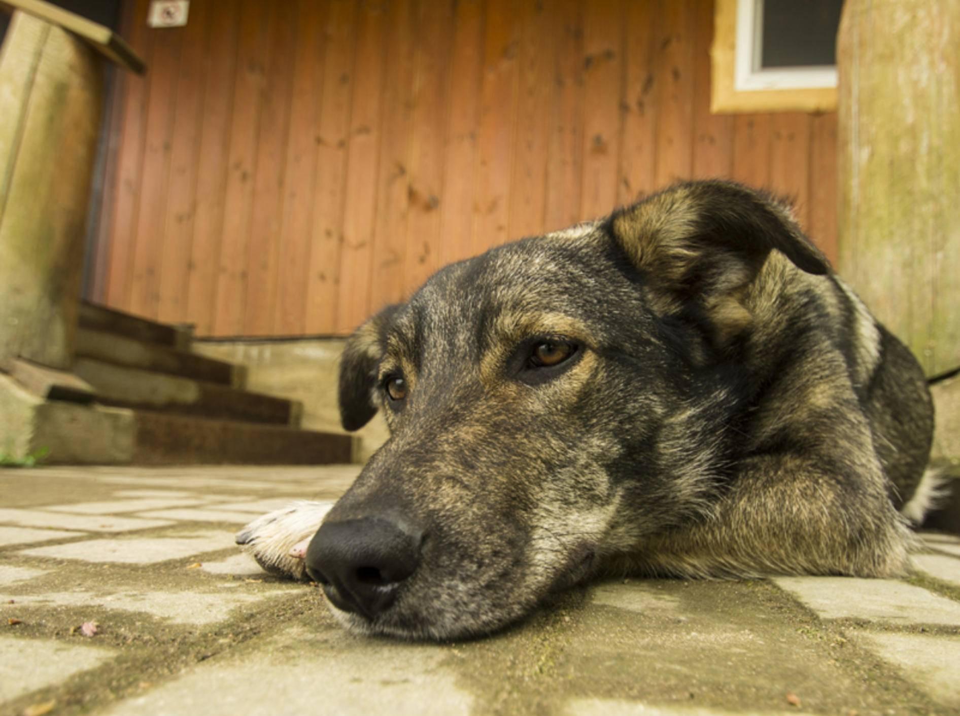 Schmerzen sorgen oft dafür, dass der Hund lahmt und schließlich gar nicht mehr läuft – Bild: Shutterstock / CarMan