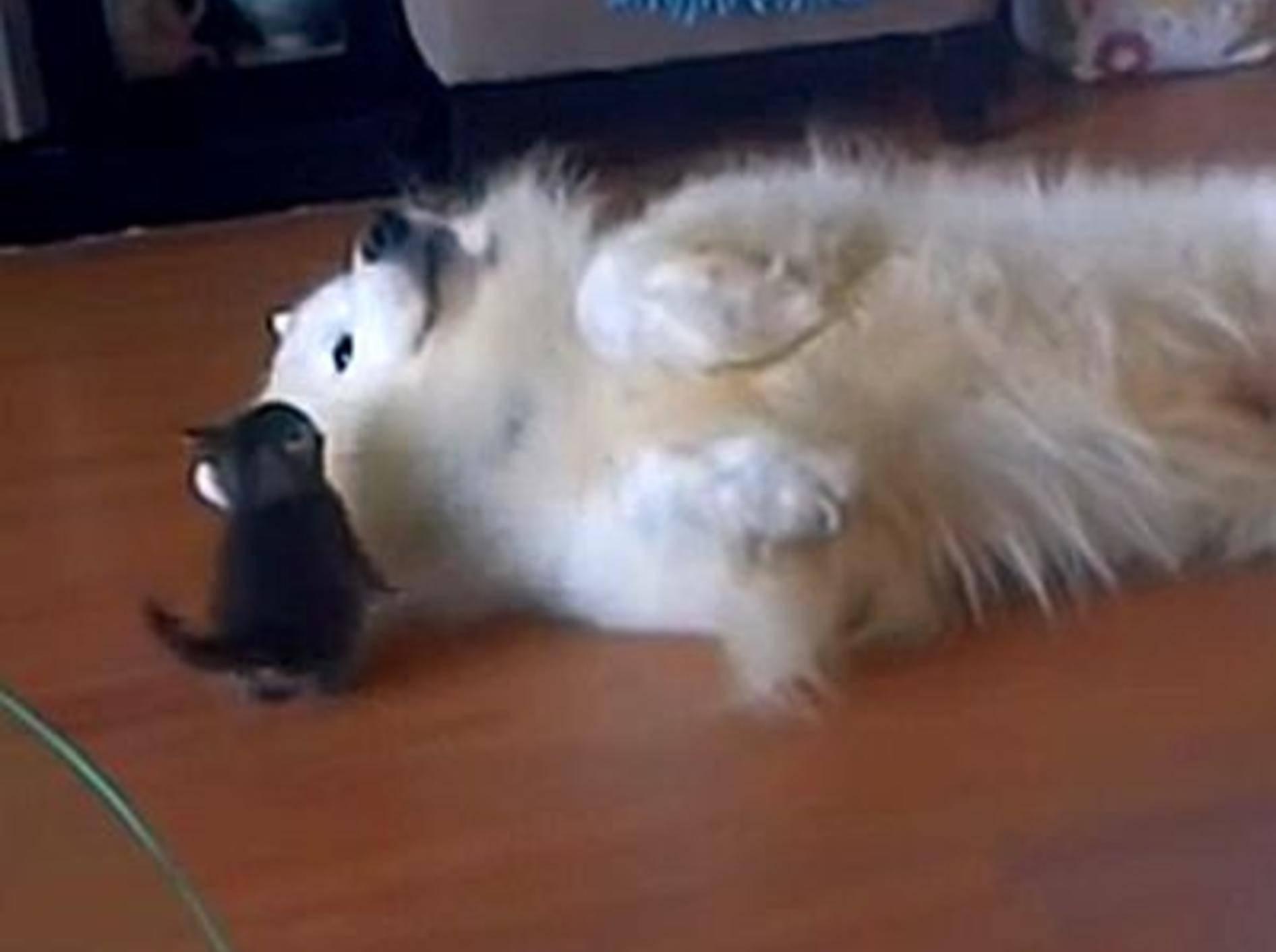 Wunderschöner Hund spielt mit kleiner Samtpfote – Bild: Youtube / Jessica Lamb